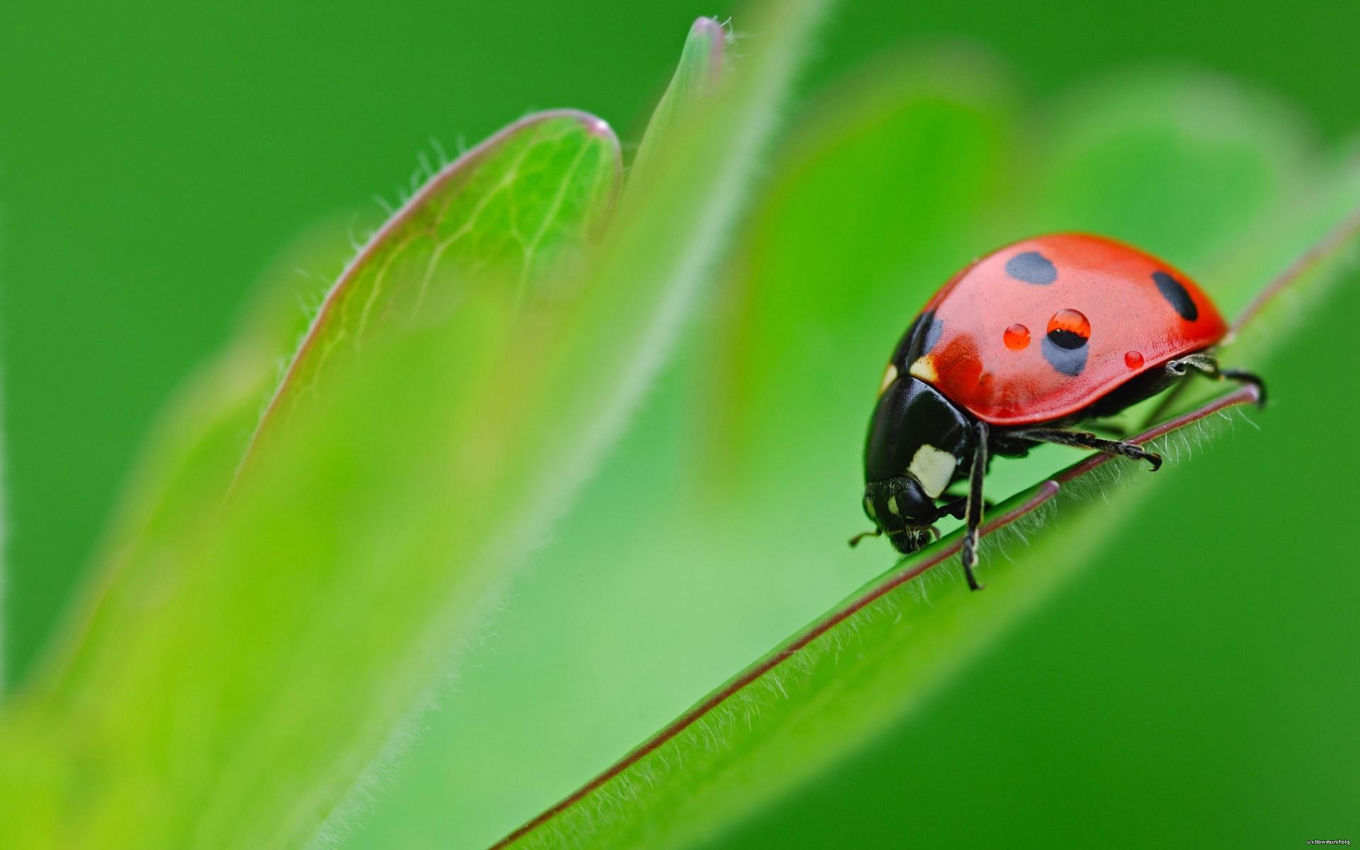 Ladybug Wallpaper HD