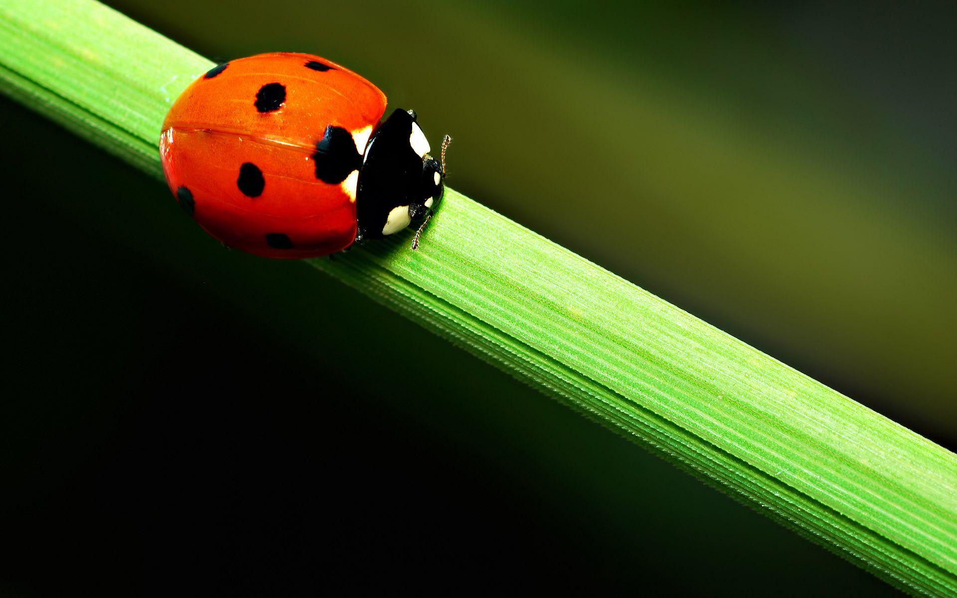 Ladybug Wallpaper 3955