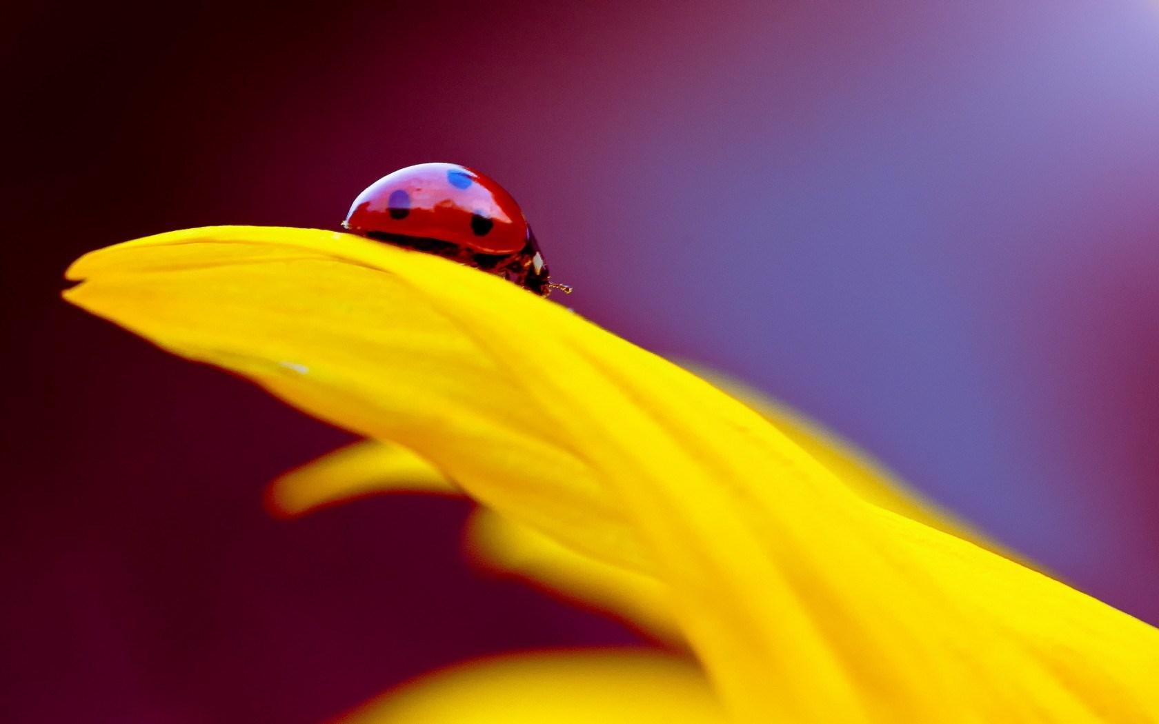 Ladybug yellow petal