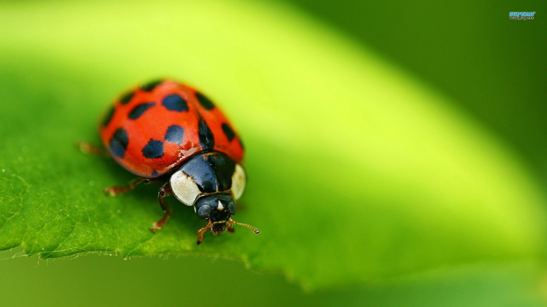 Popular Ladybugs Ladybug Animal Wallpaper