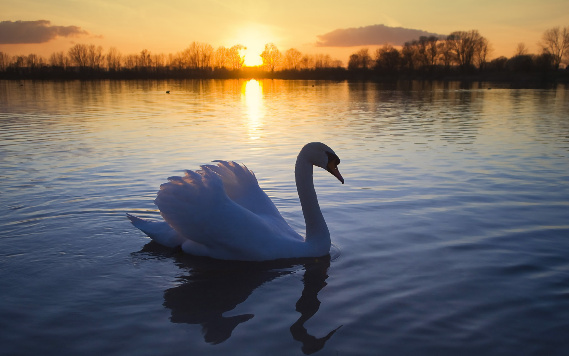 Lake swans sunset