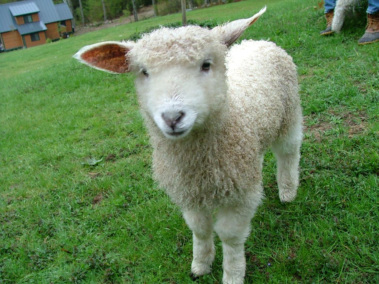 Cotswold Lamb