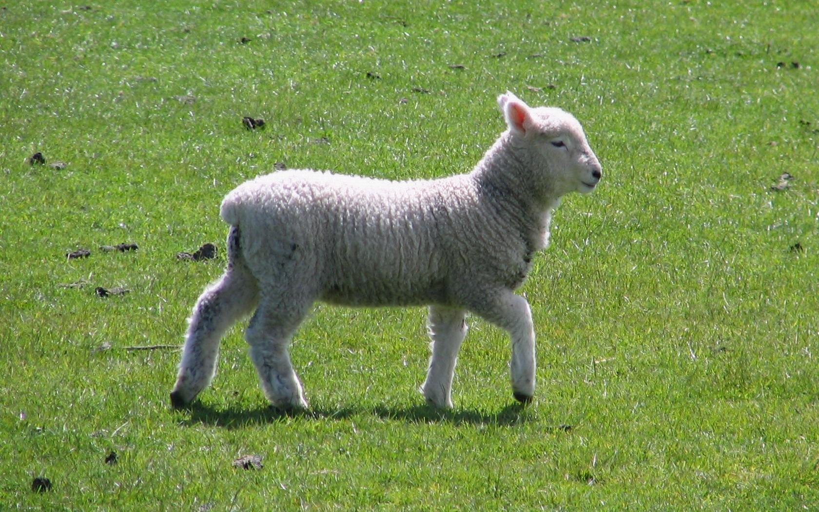 File:Dunedin lamb spring 2008.jpg