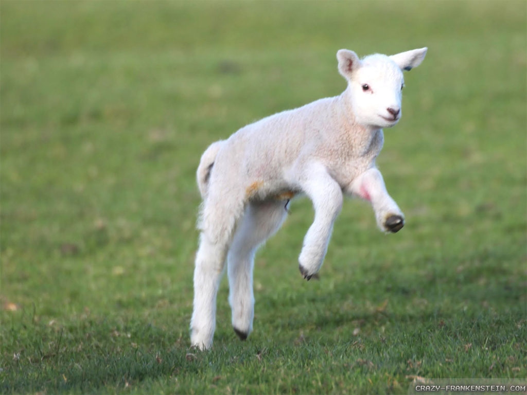 Wallpaper: Joyful Spring lambs wallpapers