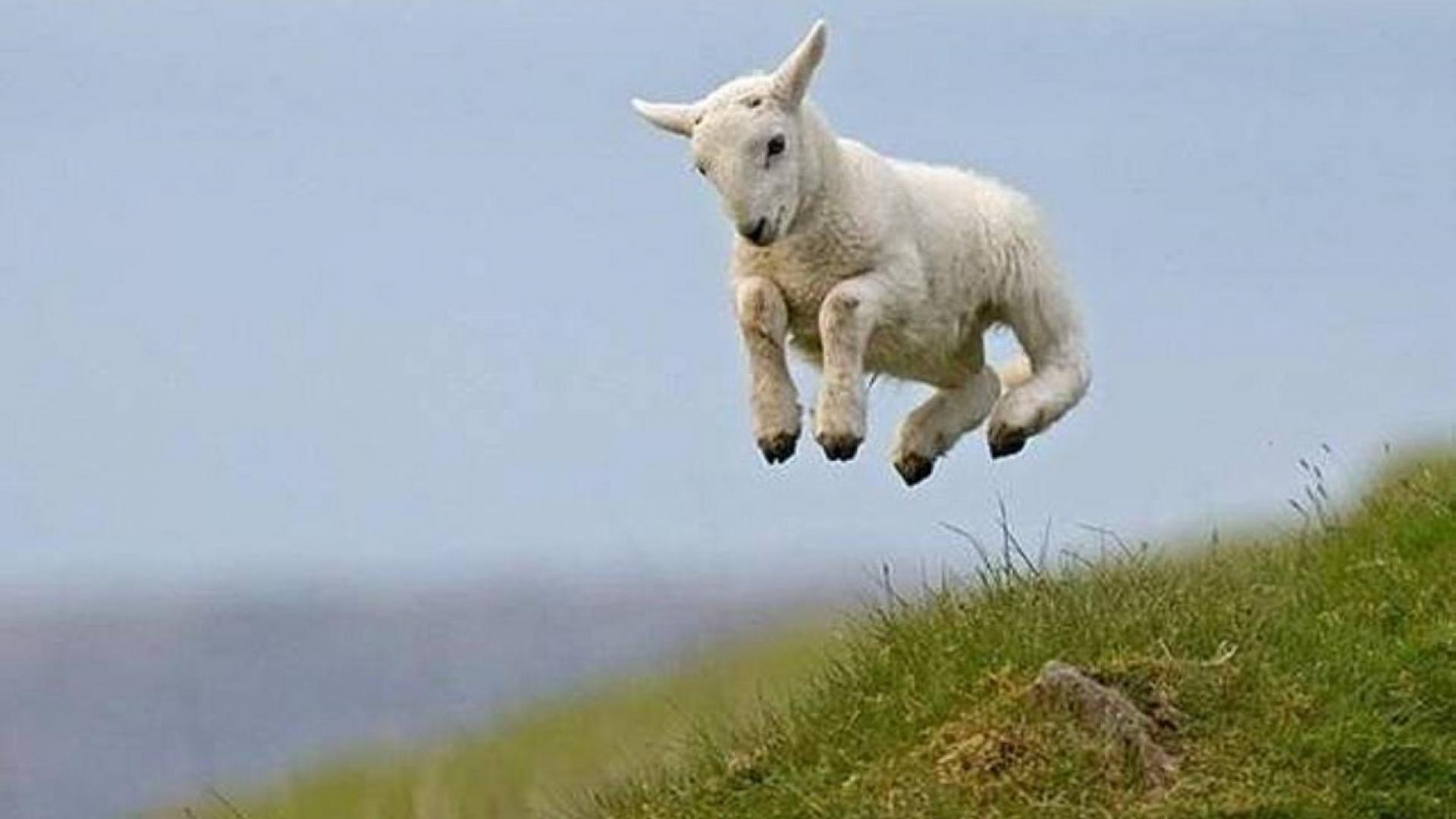 Lamb Wallpaper