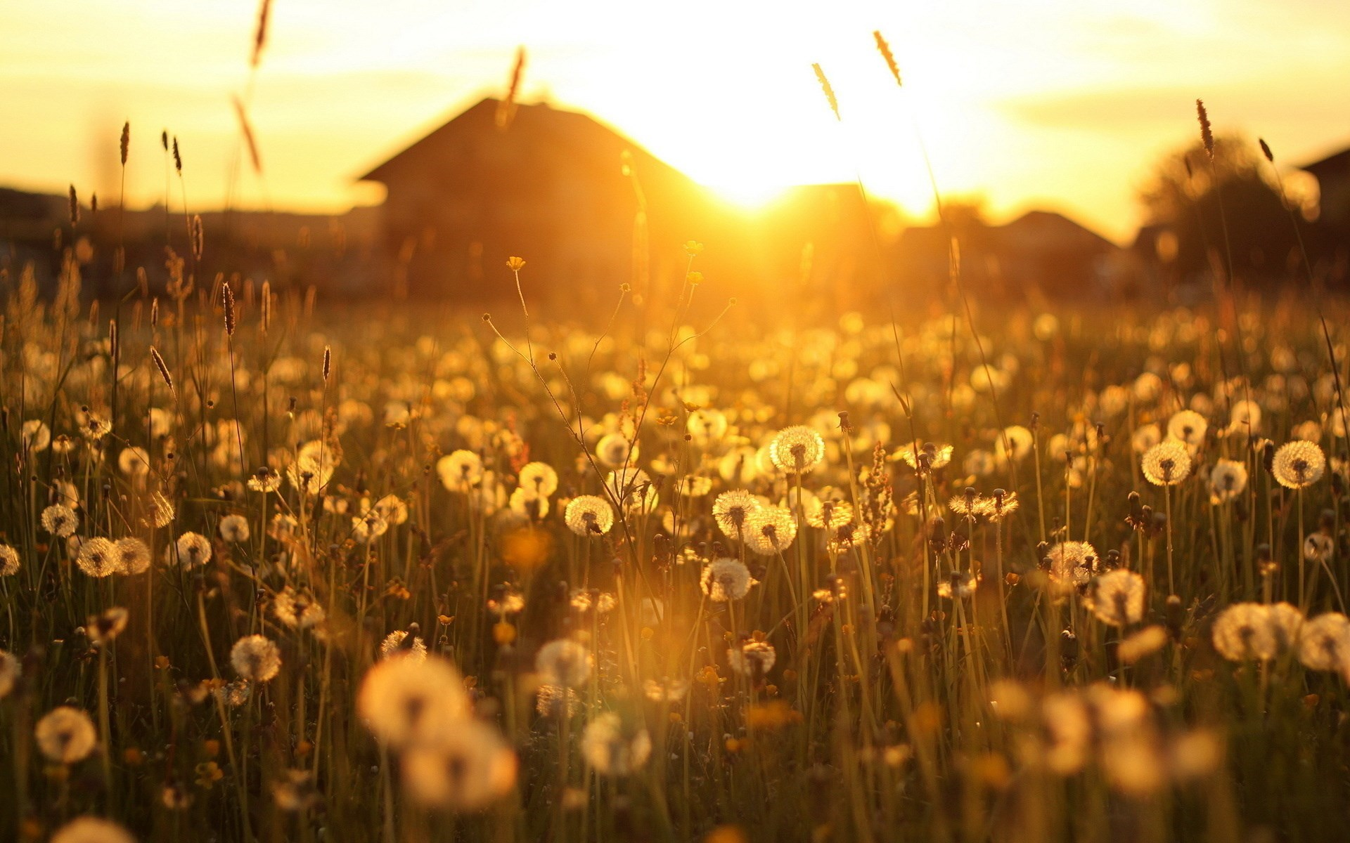 Landscape Dandelions House Sunset