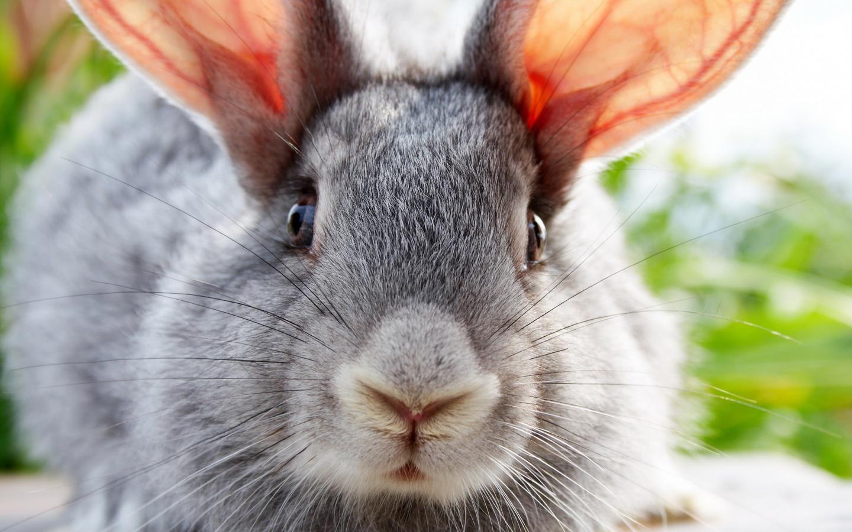 Large rabbit ears