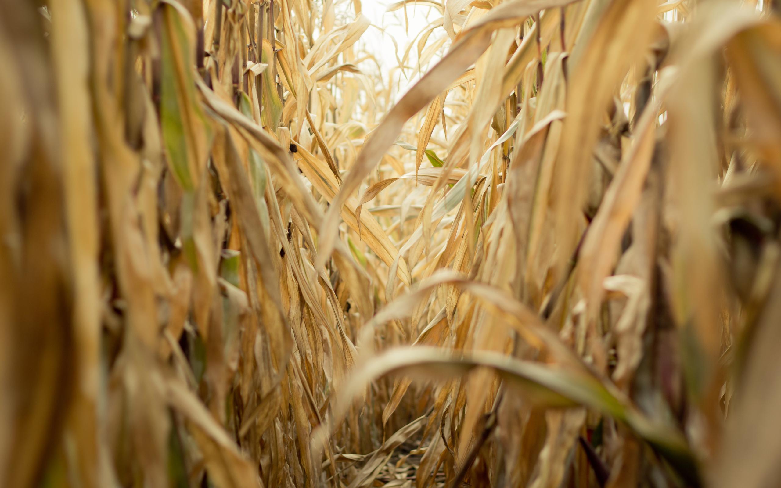 Late summer corn field