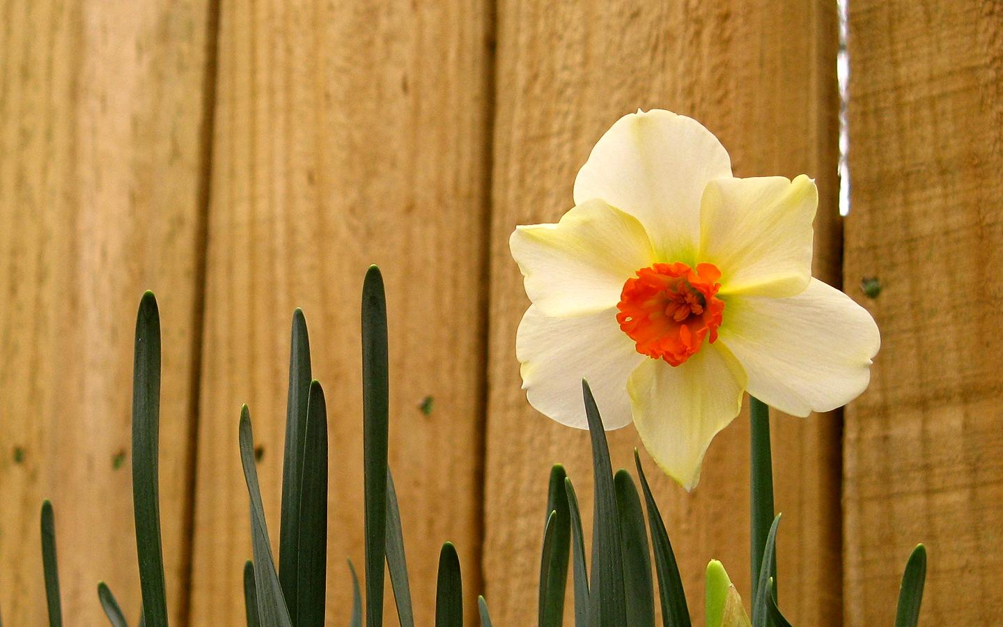 Daffodil Wallpapers Latest Wallpapers