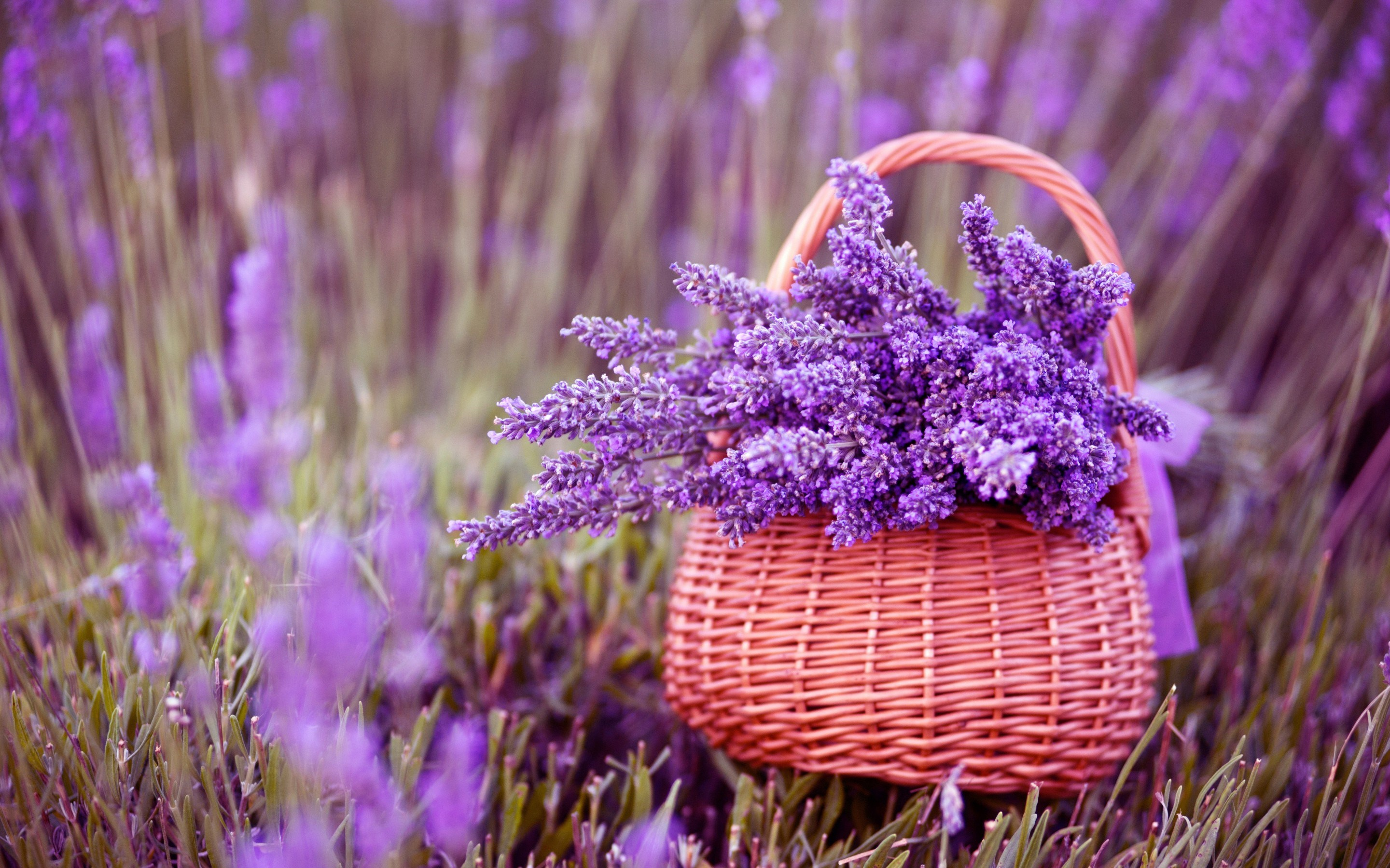 ... basket, lavender, purple lowers, spring, macro photo, fullscreen
