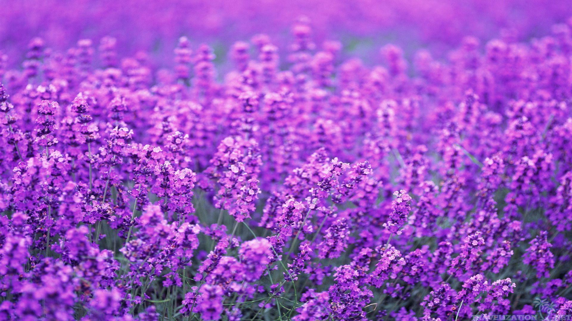 ... 2560×1920. Lavender Poppy Wallpapers
