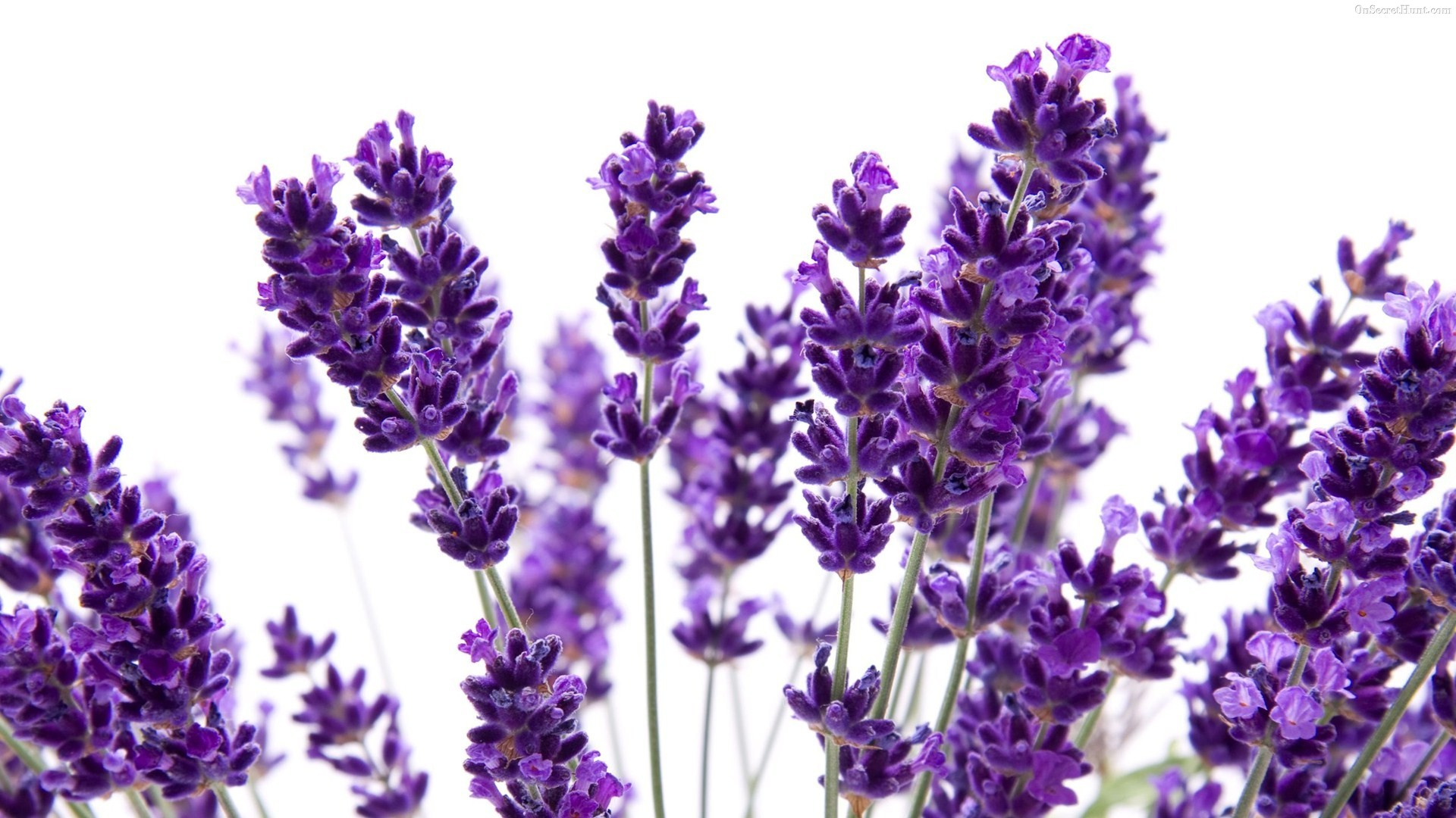 lavender flowers wallpaper  x, Beautiful flower