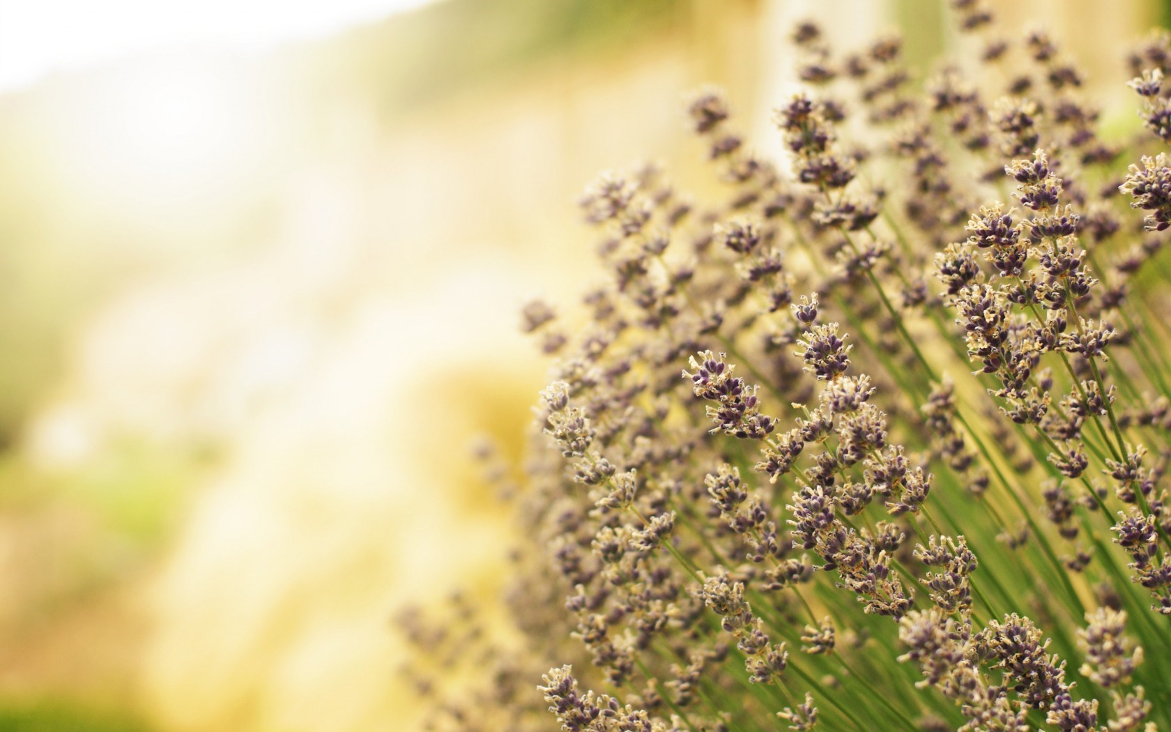 Lavender Flowers Field Light Nature