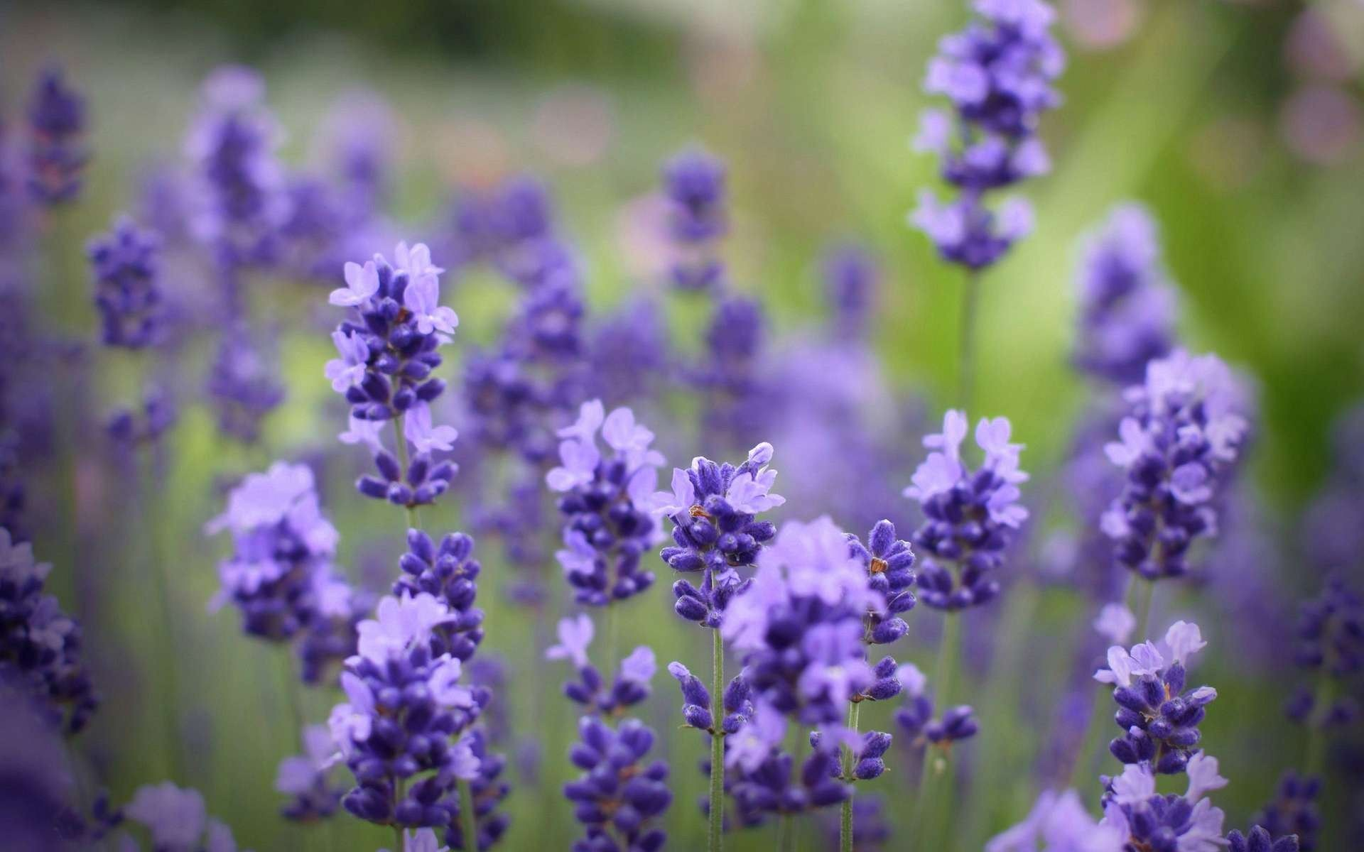 Lavender Flowers HD