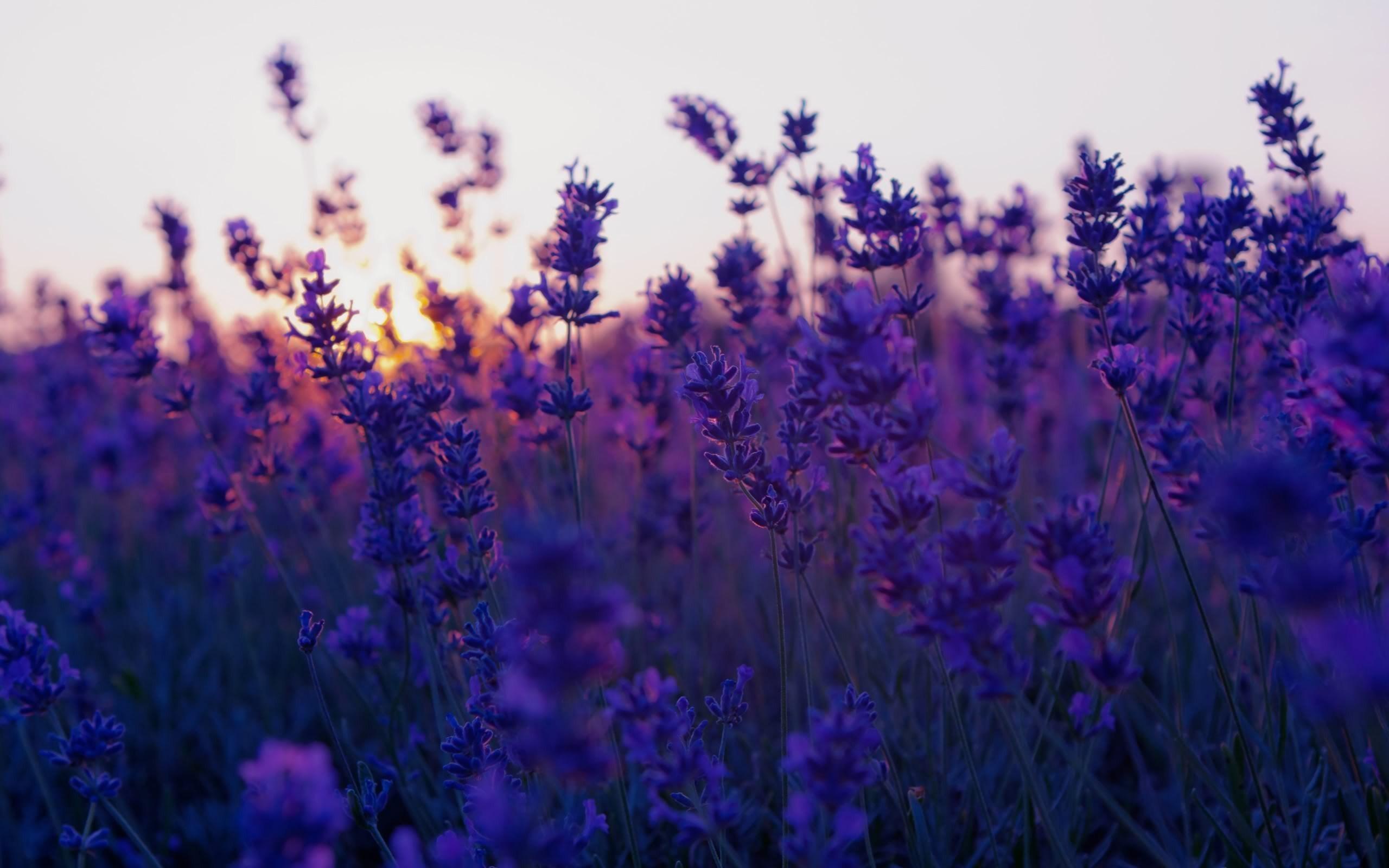 Field Lavender Purple Flowers Nature Photo