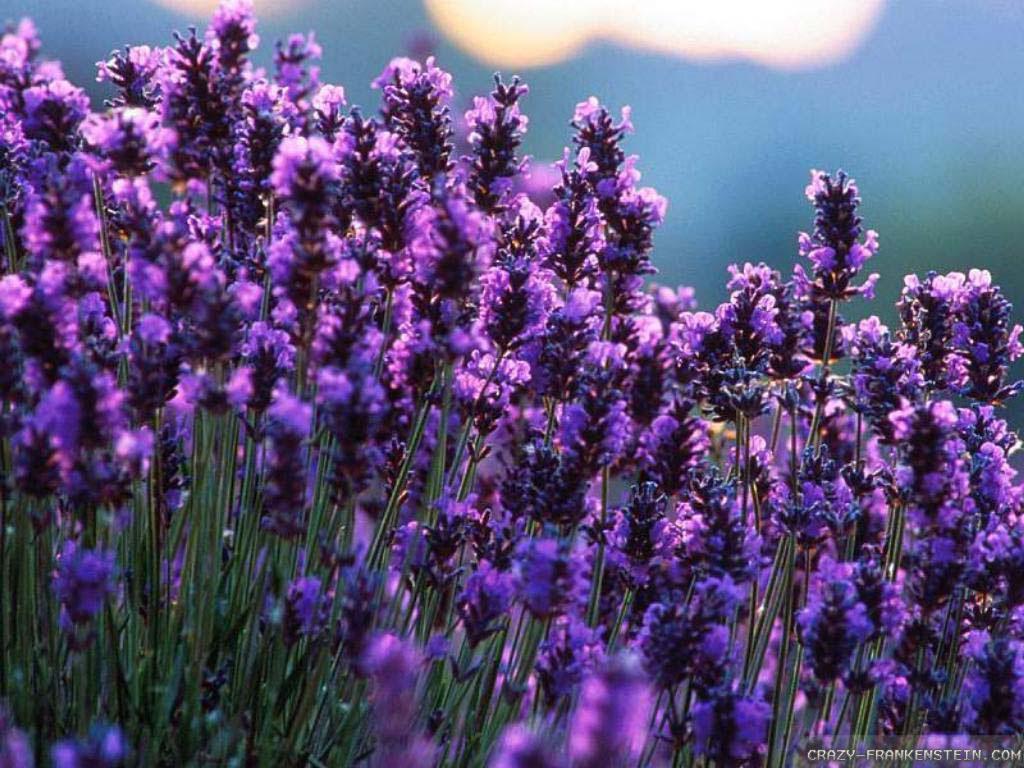 Lavender Wallpaper