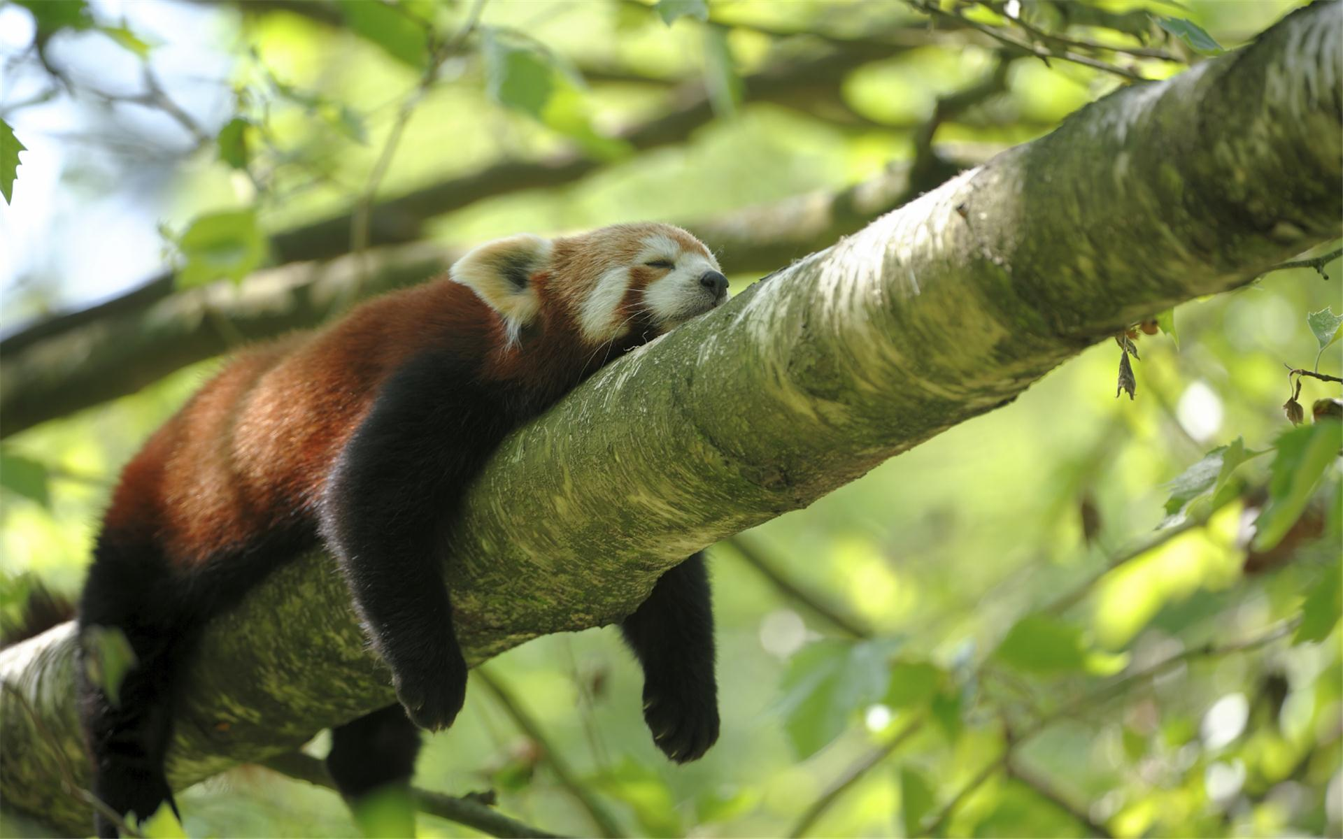 Lazy Red Panda Wallpaper