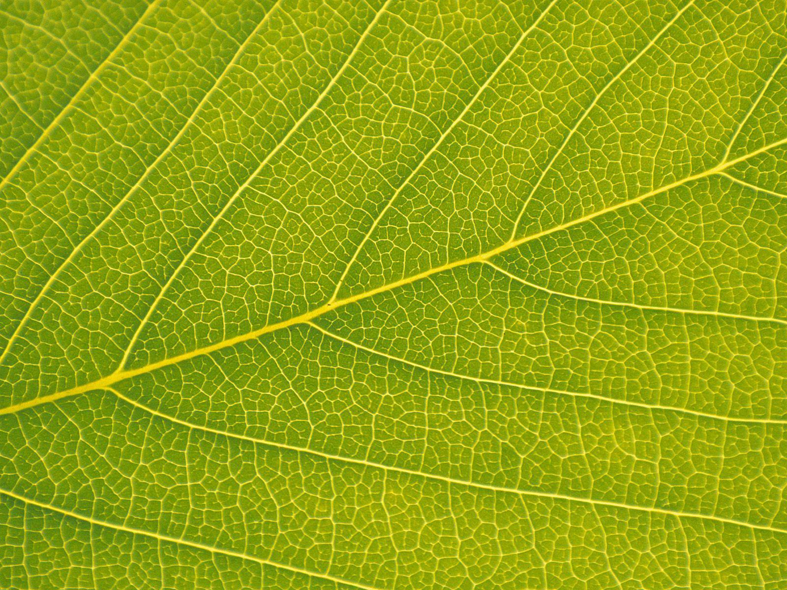 Veins of a leaf macro veins detailed leaves