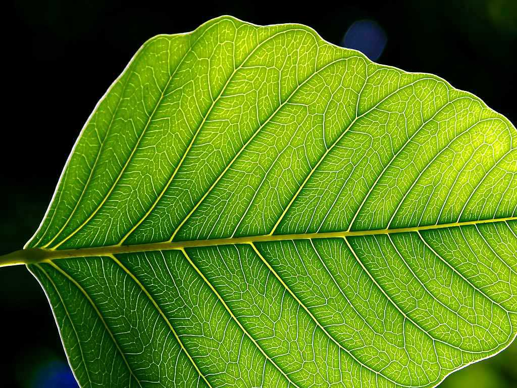 A leaf with laminar structure and pinnate venation