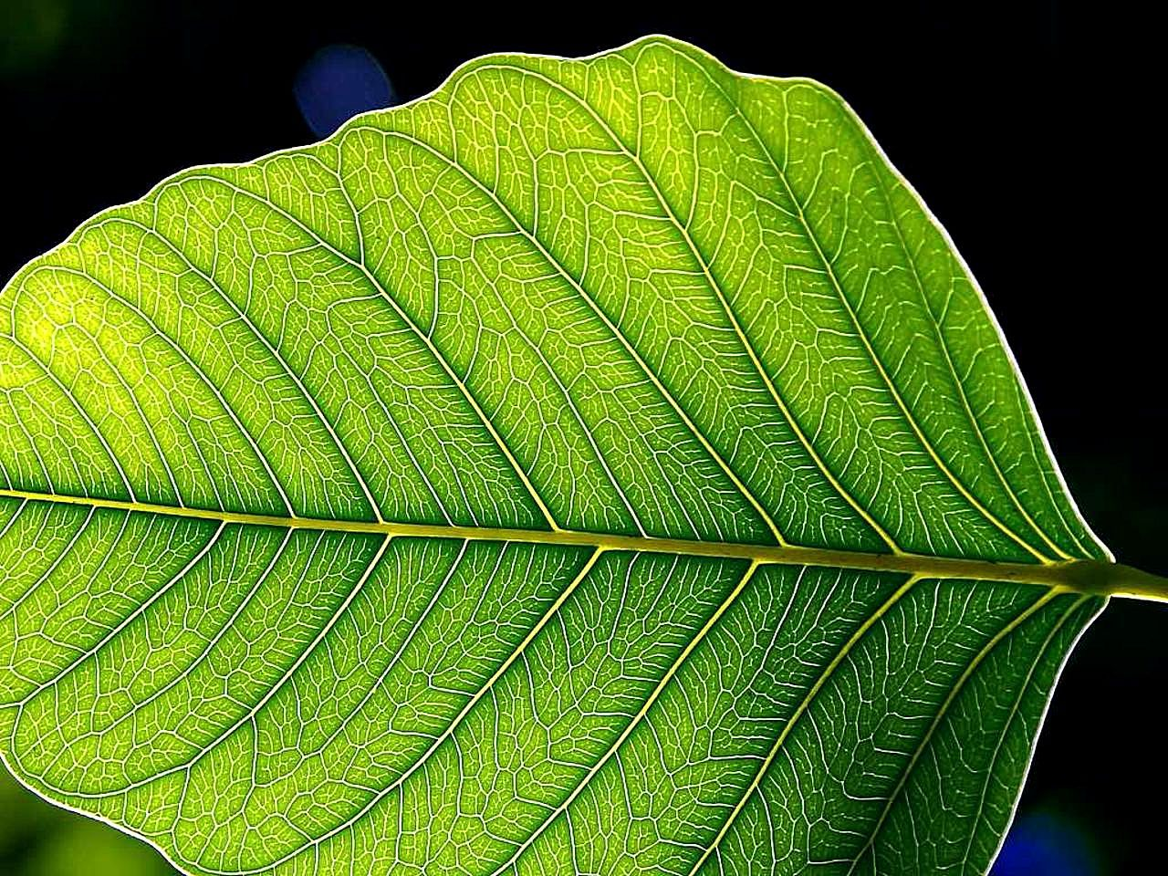 File:Green leaf leaves.jpg