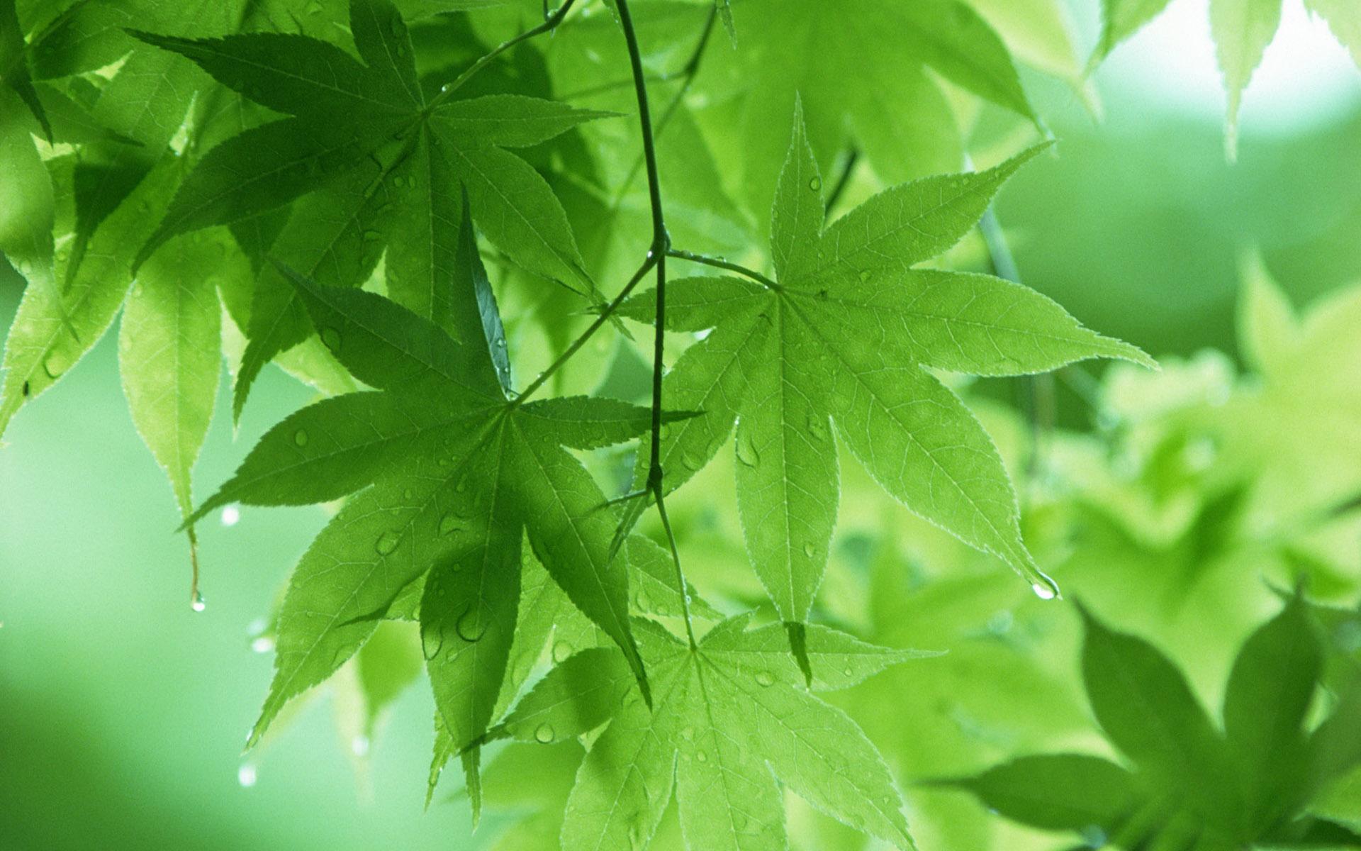 Leaf Wallpaper; Leaf Wallpaper ...