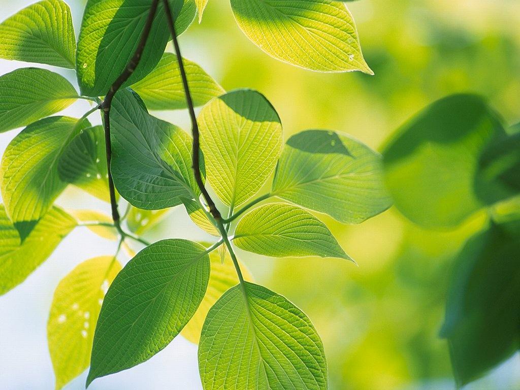 1024x768 Vista green leafs