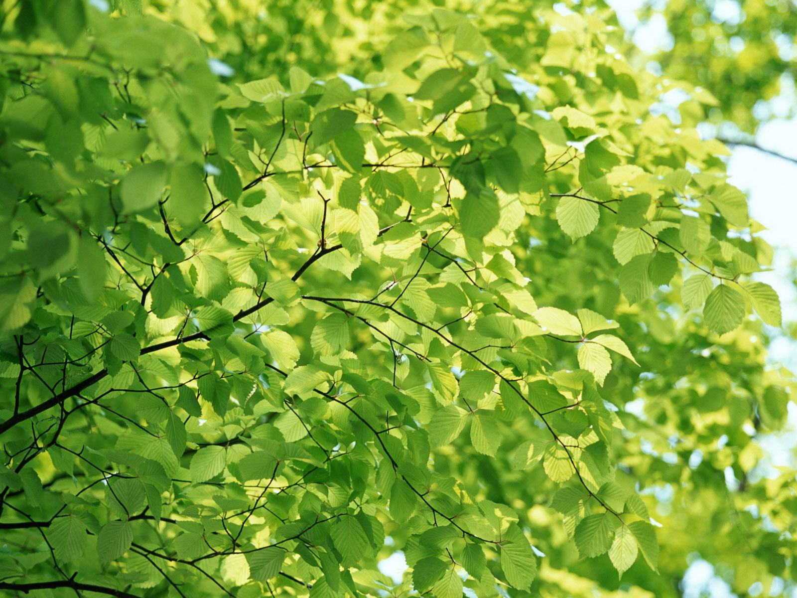 Wallpaper green background Tree Leaves