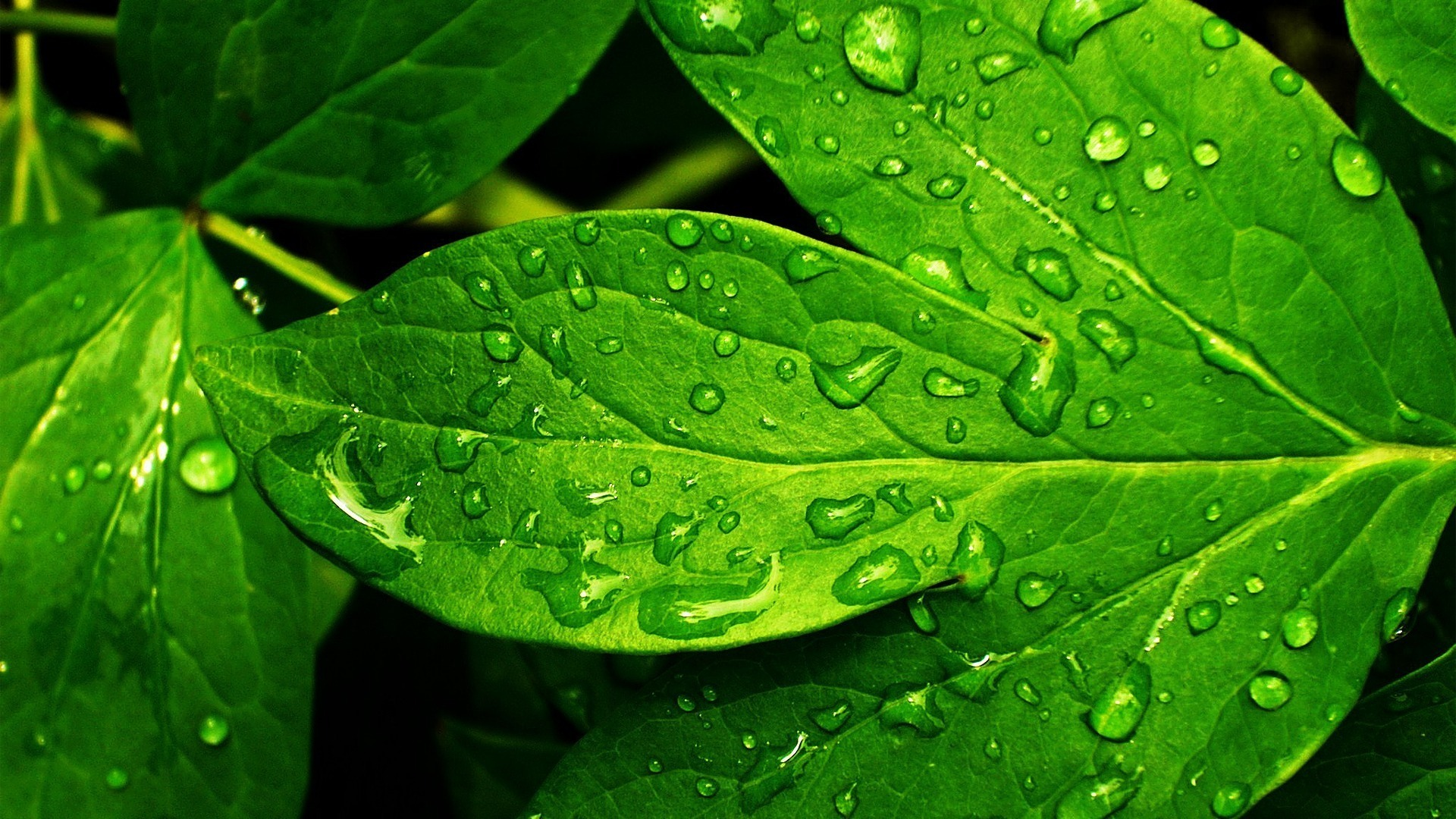 Green Leaves Hd Wallpaper-1