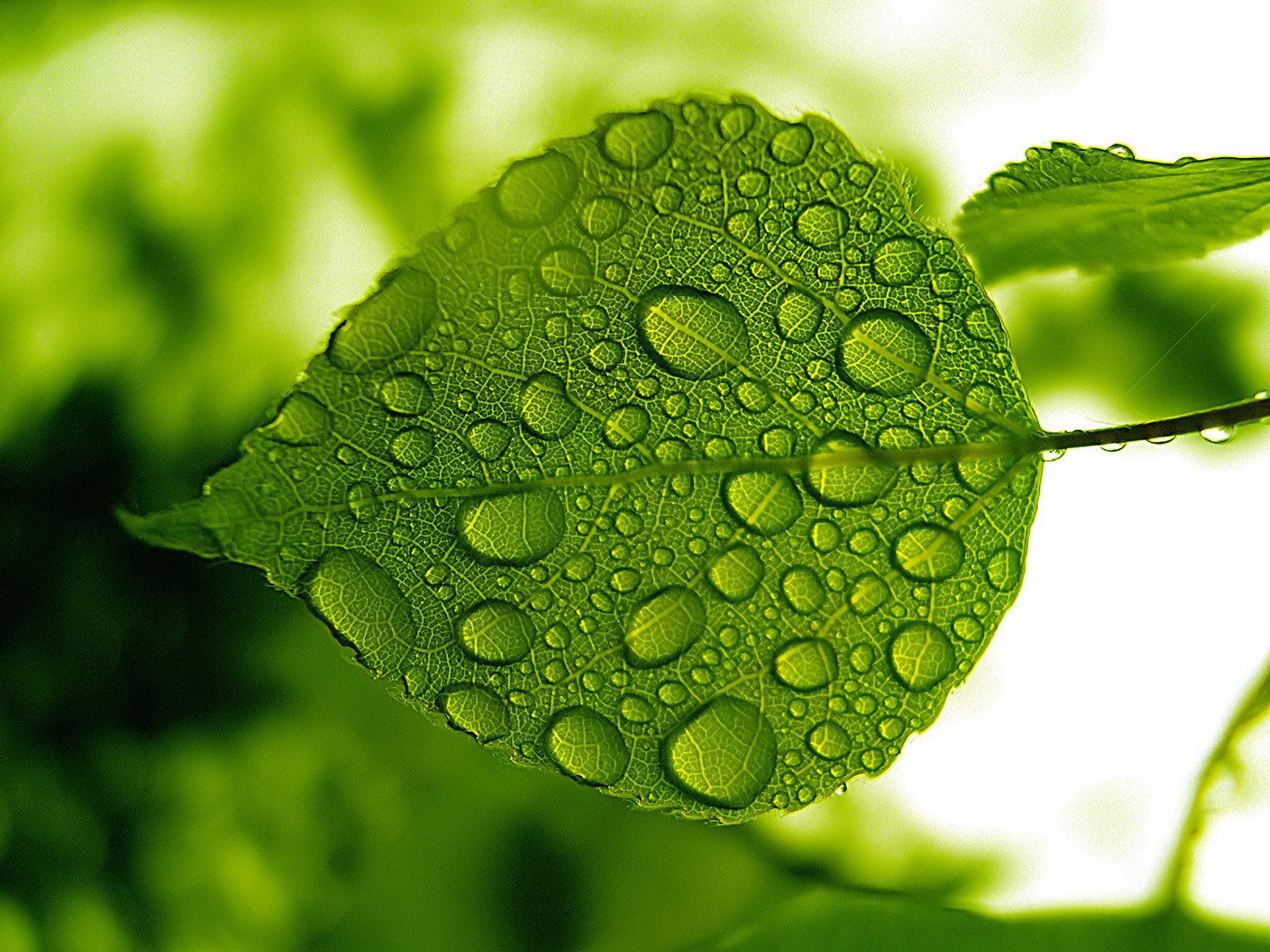Leaves waterdrop