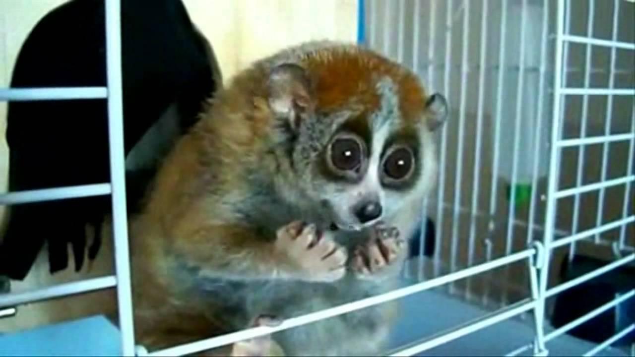 Lemur pieszczoszek Lori Sonya