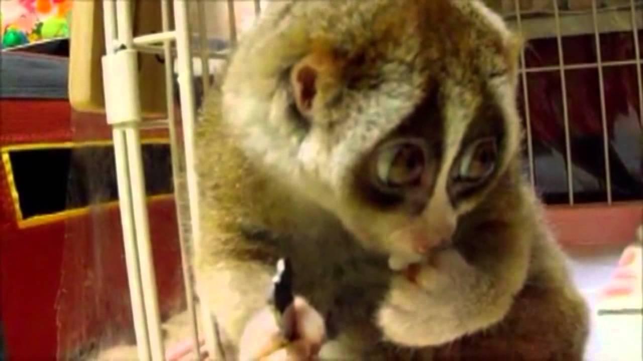 Lemur pieszczoszek :) (Lori Sonya :)