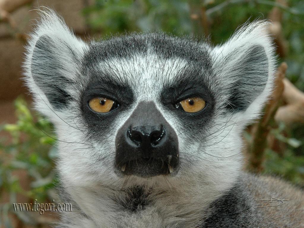 Lemur backgrounds ...