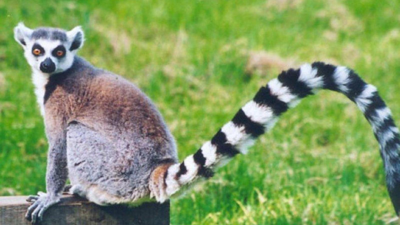 Widescreen resolutions (16:10): 1280x800 1440x900 1680x1050 1920x1200. Normal resolutions: 1024x768 1280x1024. Wallpaper Tags: madagascar lemur grass animal ...
