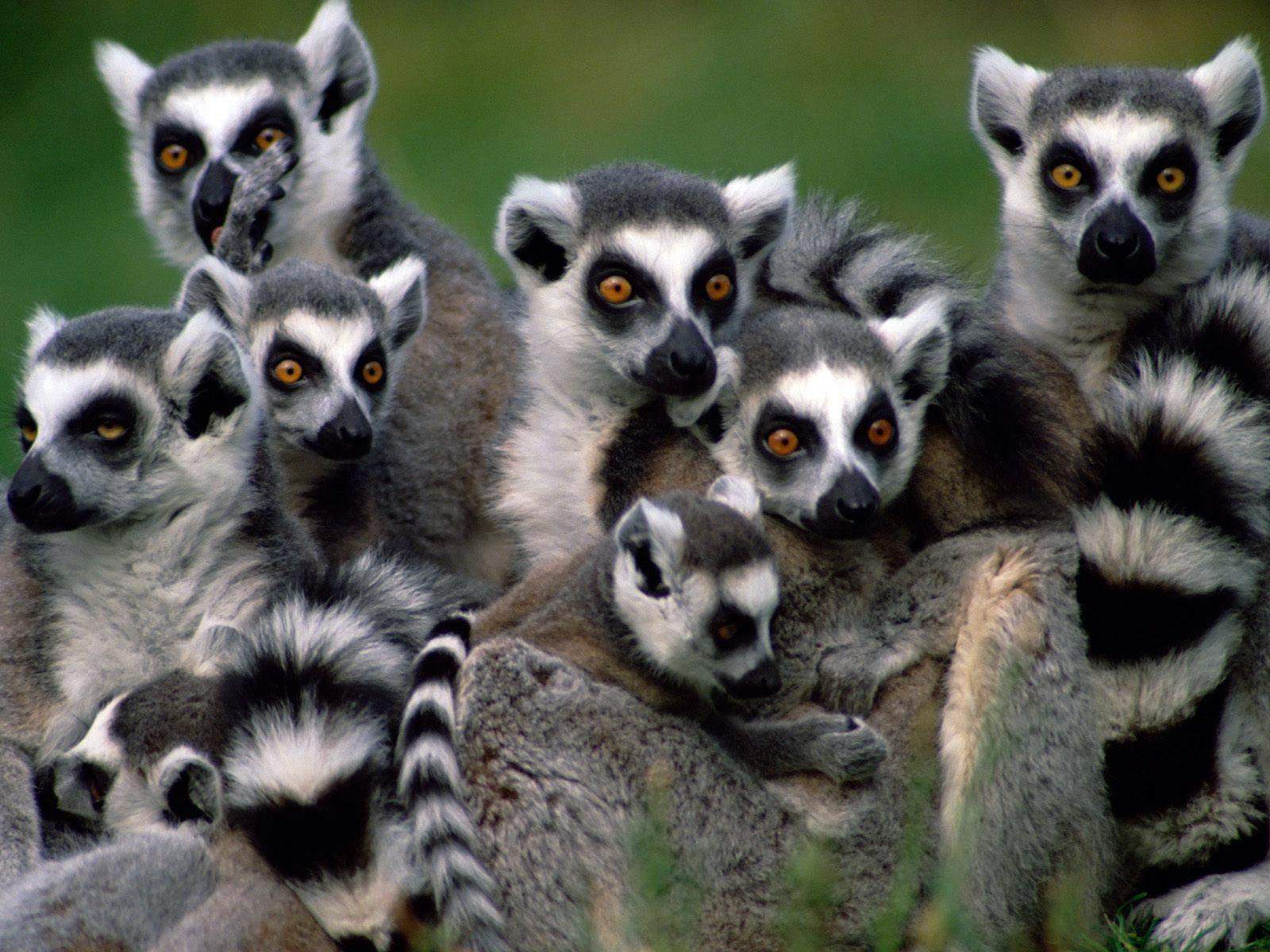 Lemurs Madagascar Lemurs