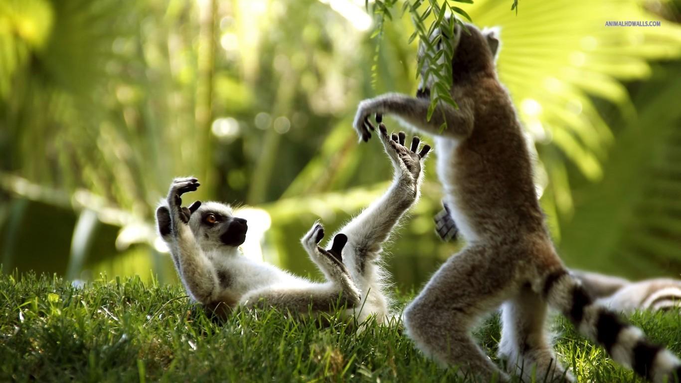 Ring-tailed lemurs wallpaper 1366x768