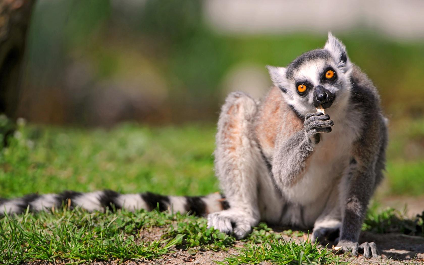 An eating ringtail lemur