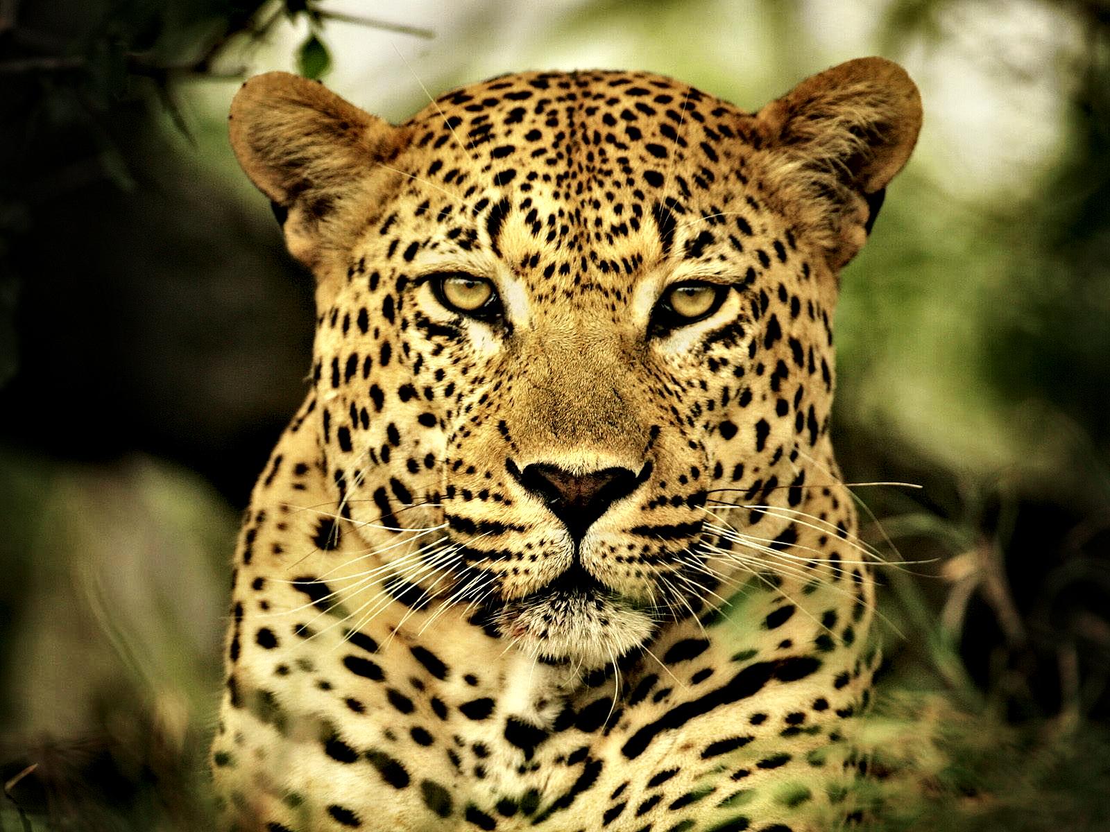 Leopard- Photo#04
