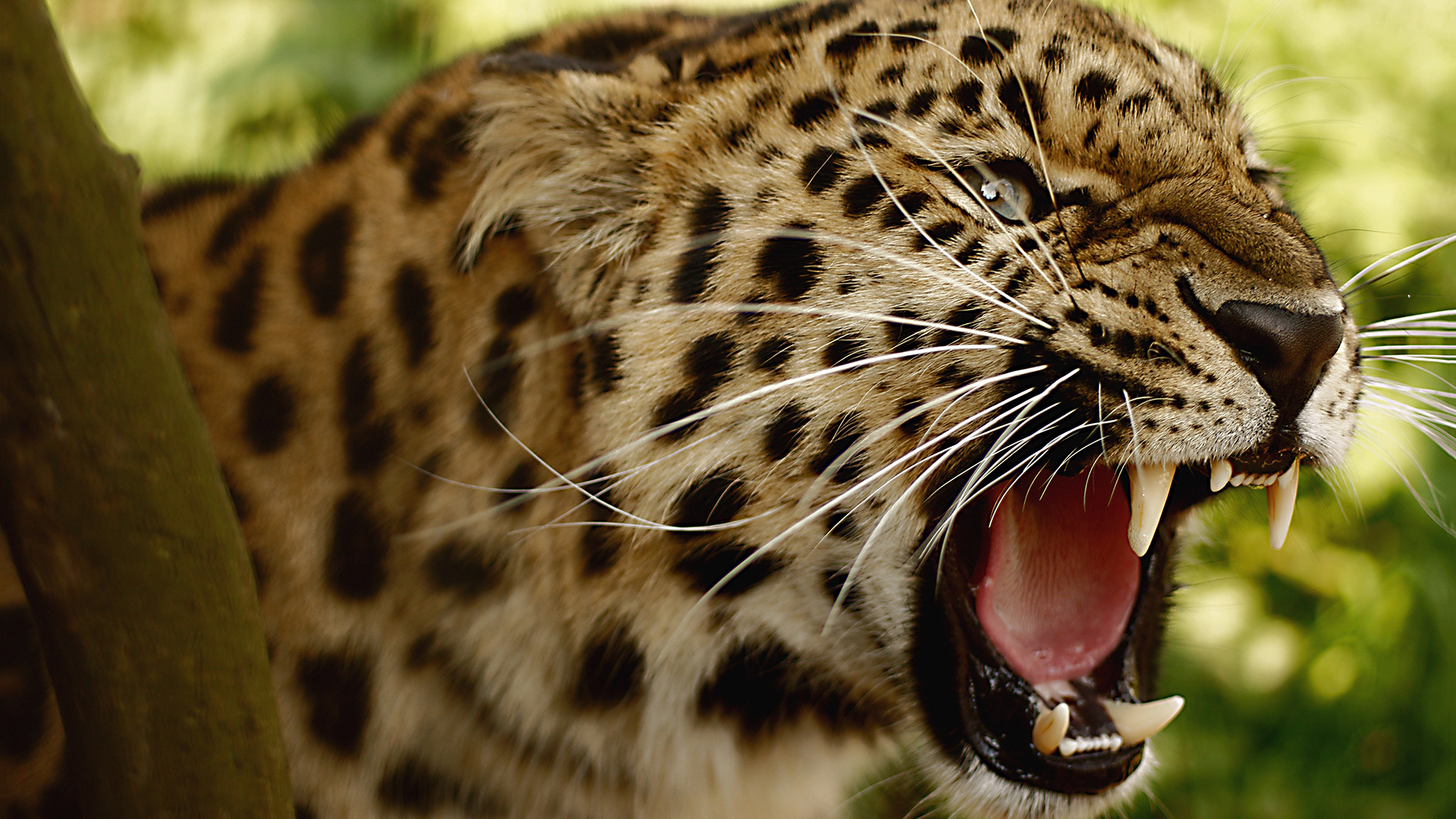 Leopard angry