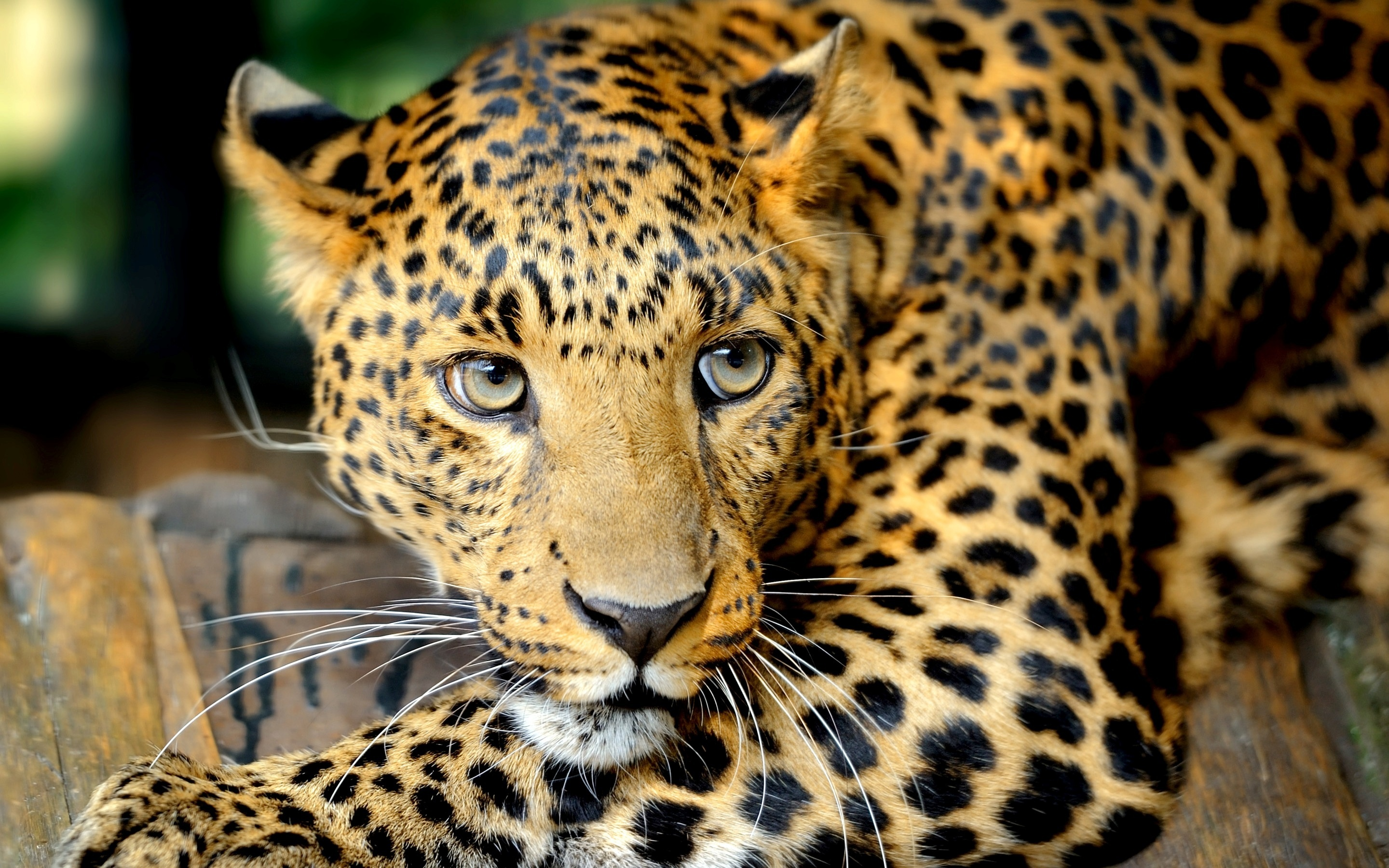 Relax Leopard Wallpapers