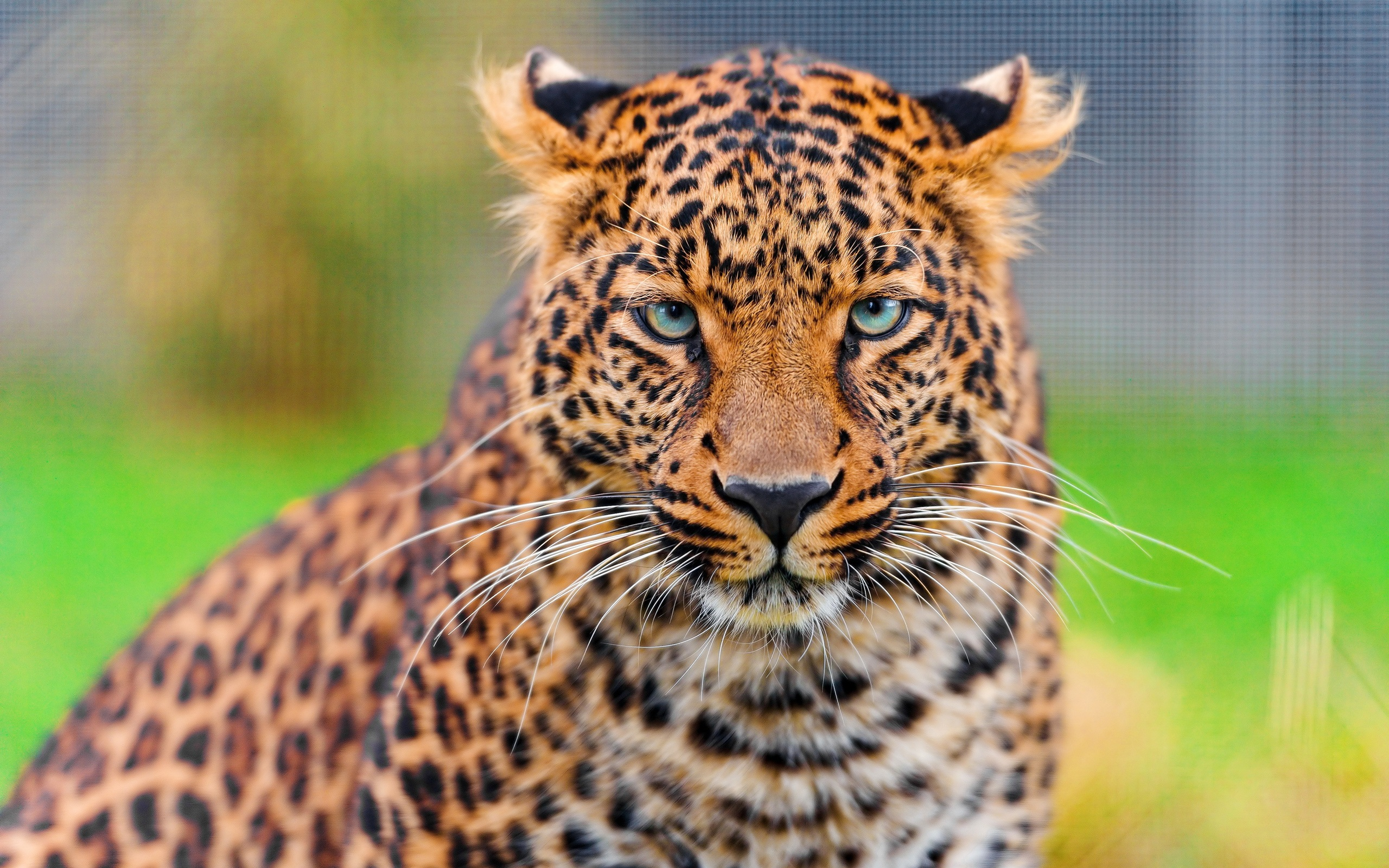 Leopard face HD close-up wallpaper 2560x1600.