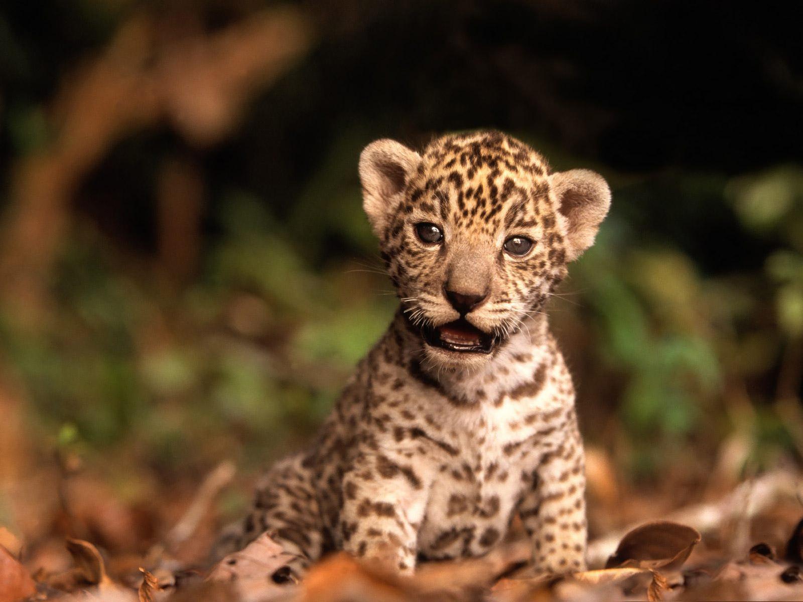 Cute Leopard Cub desktop wallpaper