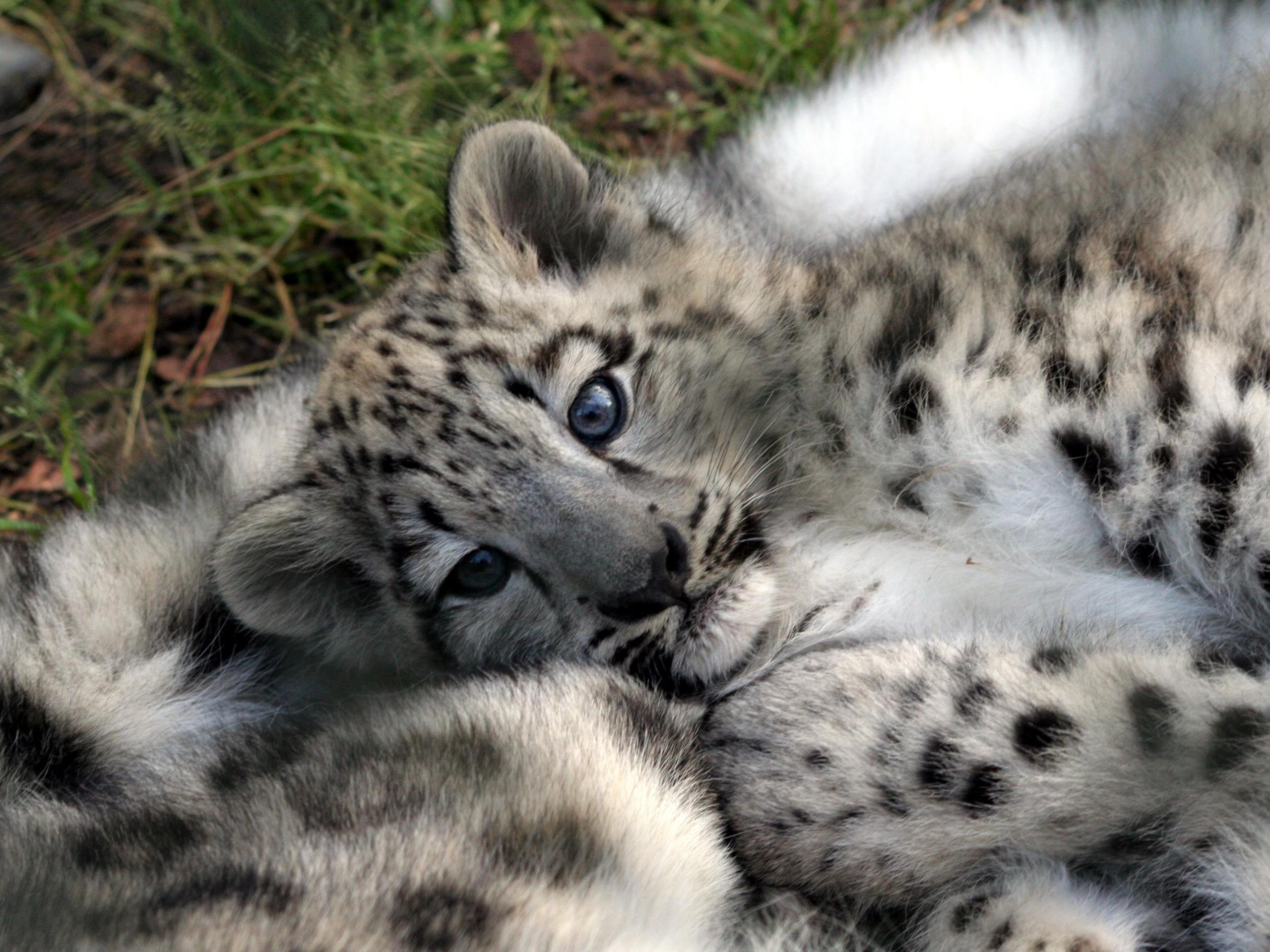 Leopard cub baby