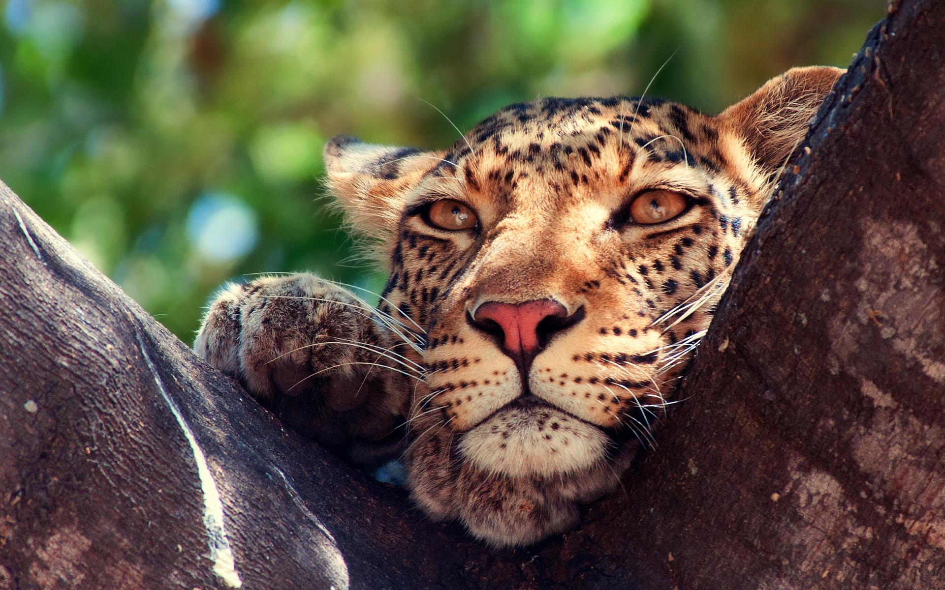 Leopard eyes tree