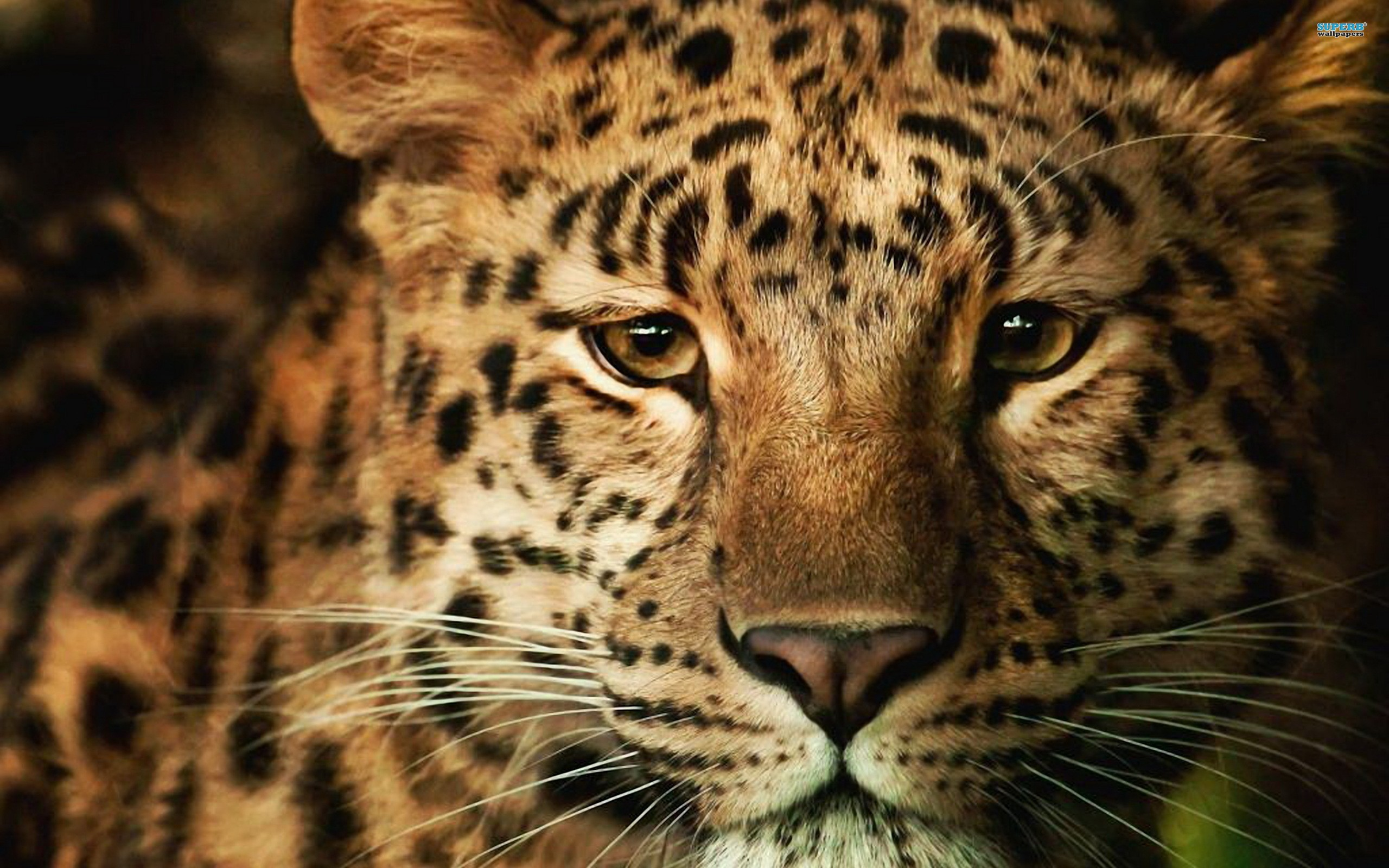 Leopard Wallpaper 13