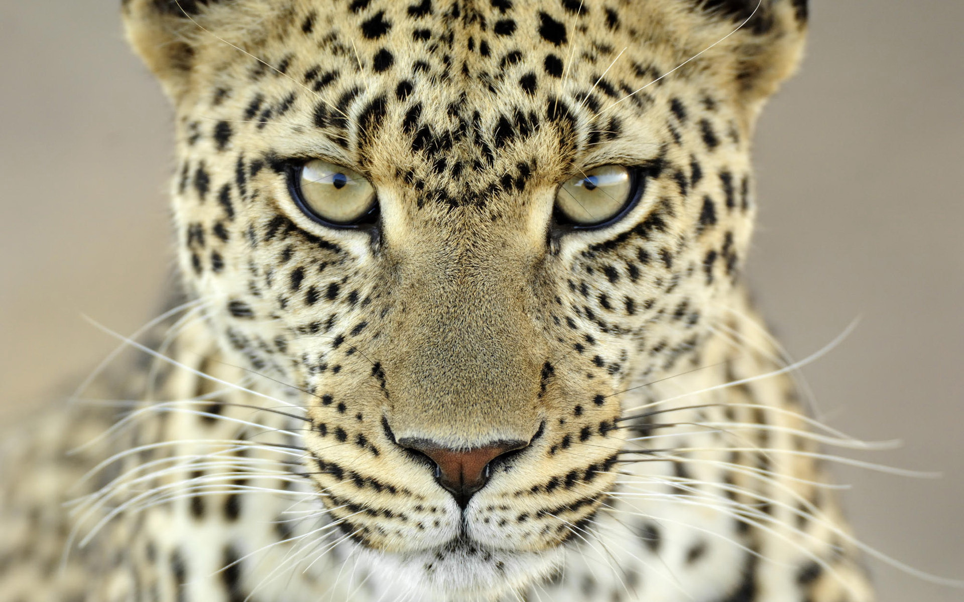... Leopard Wallpapers ...