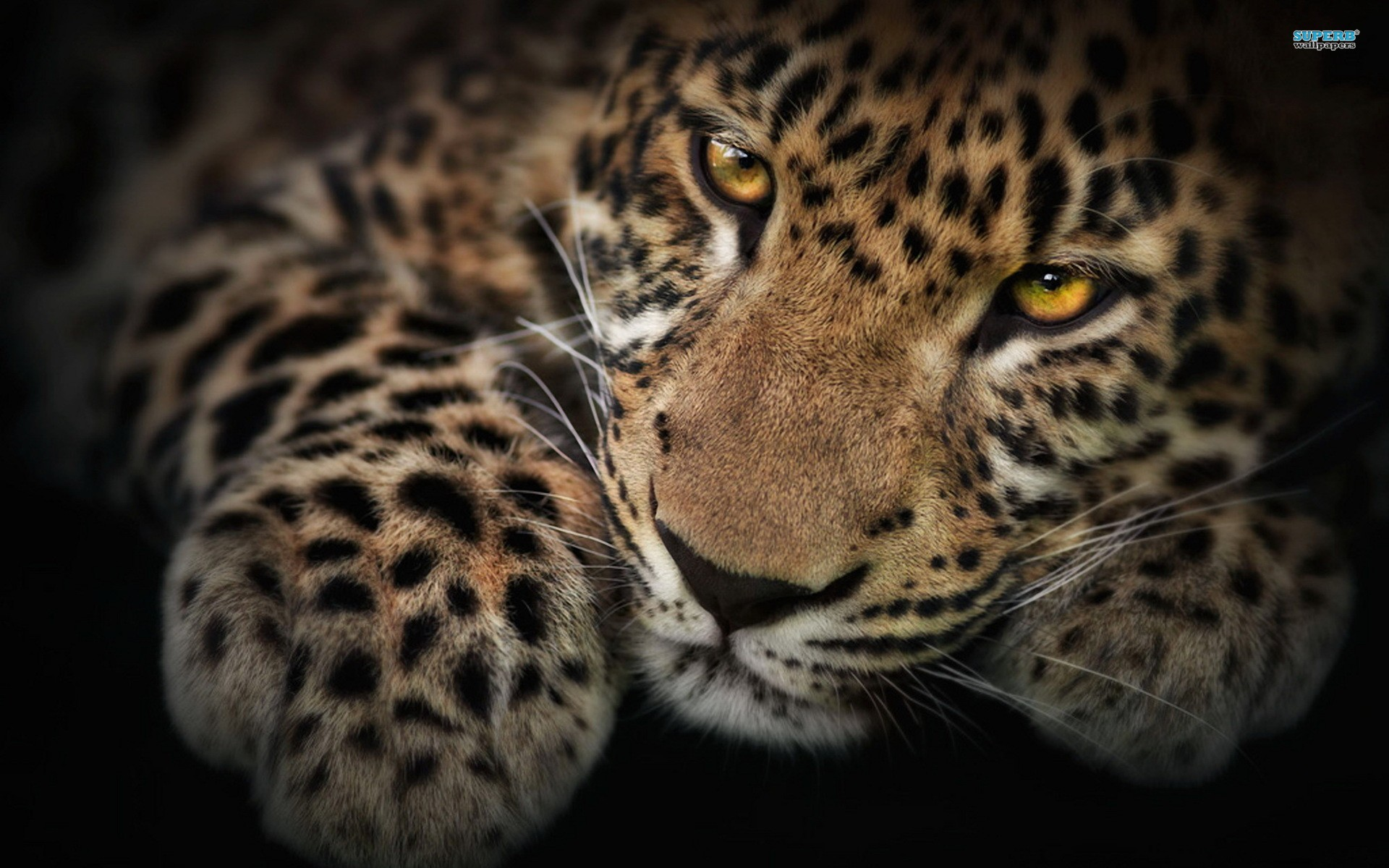 Leopard Wallpaper 12