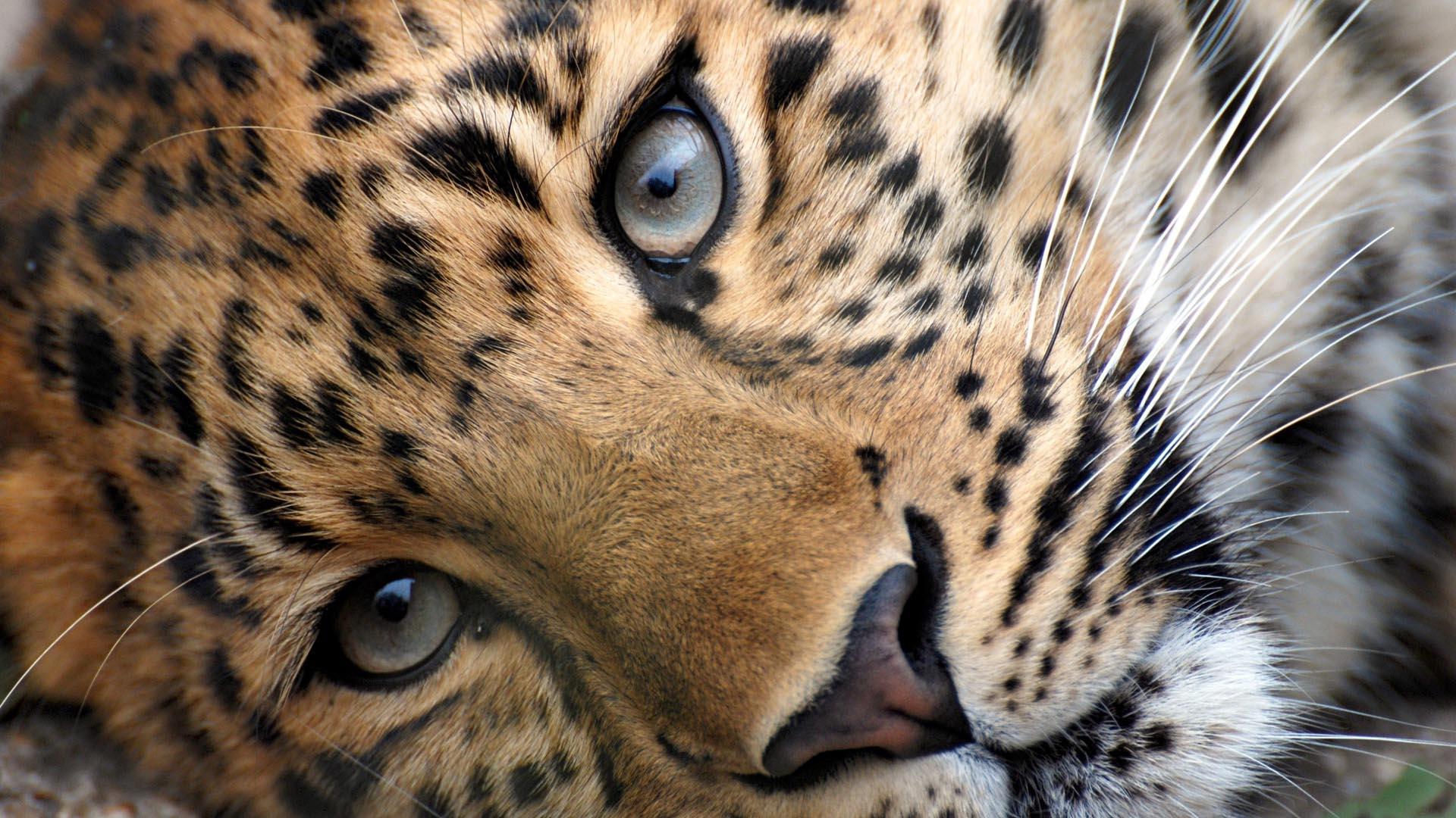 Leopard Wallpaper HD Free Download