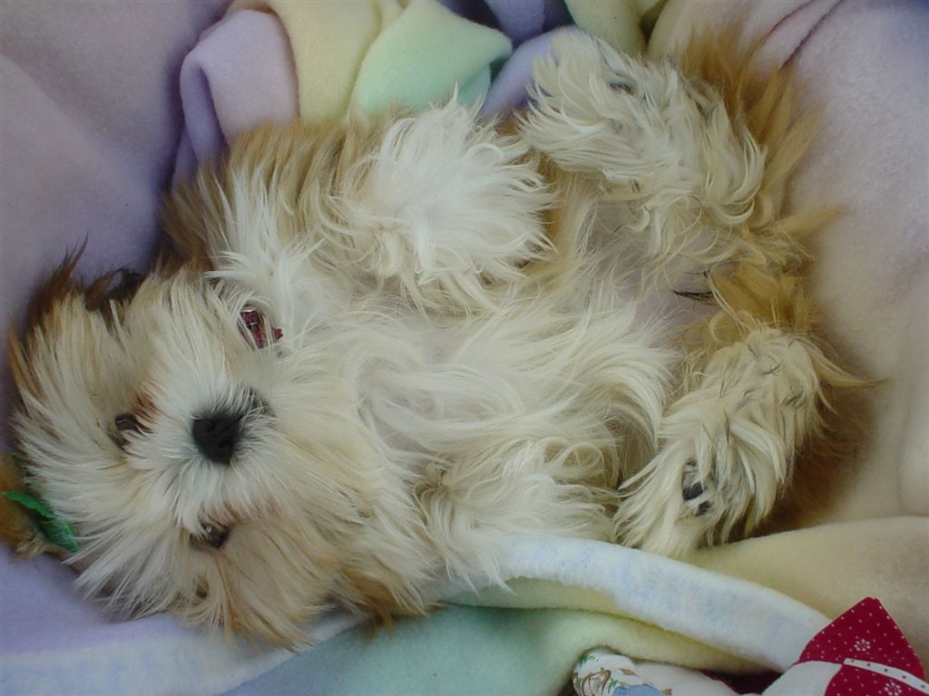 File:Lhasa Apso puppy basket.jpg