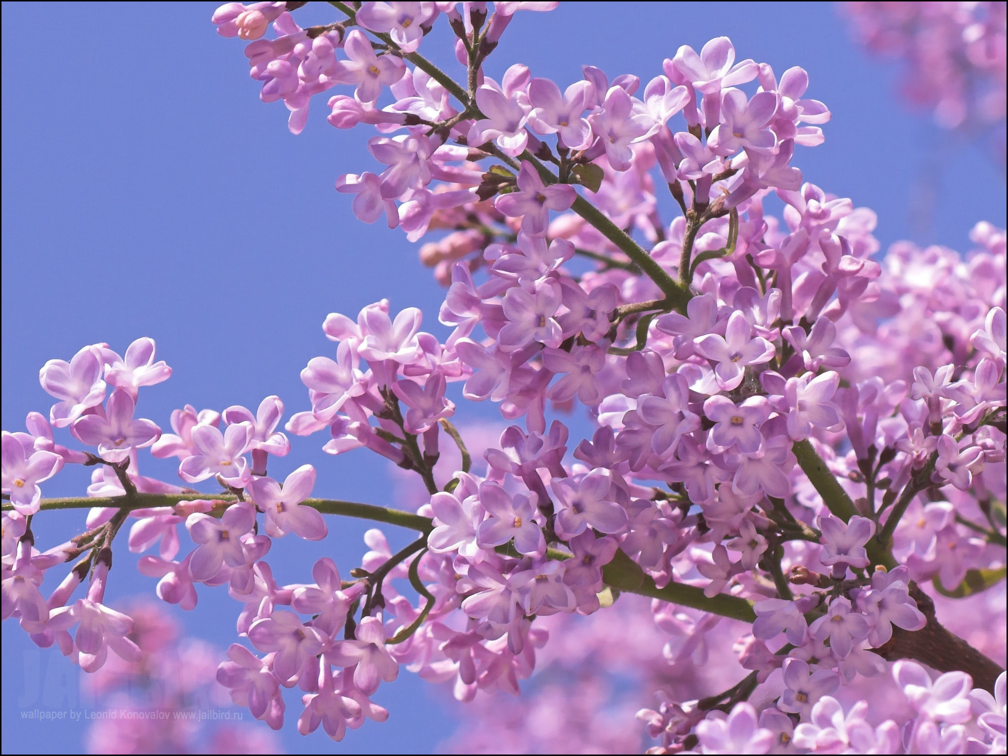lilac - flowers Photo