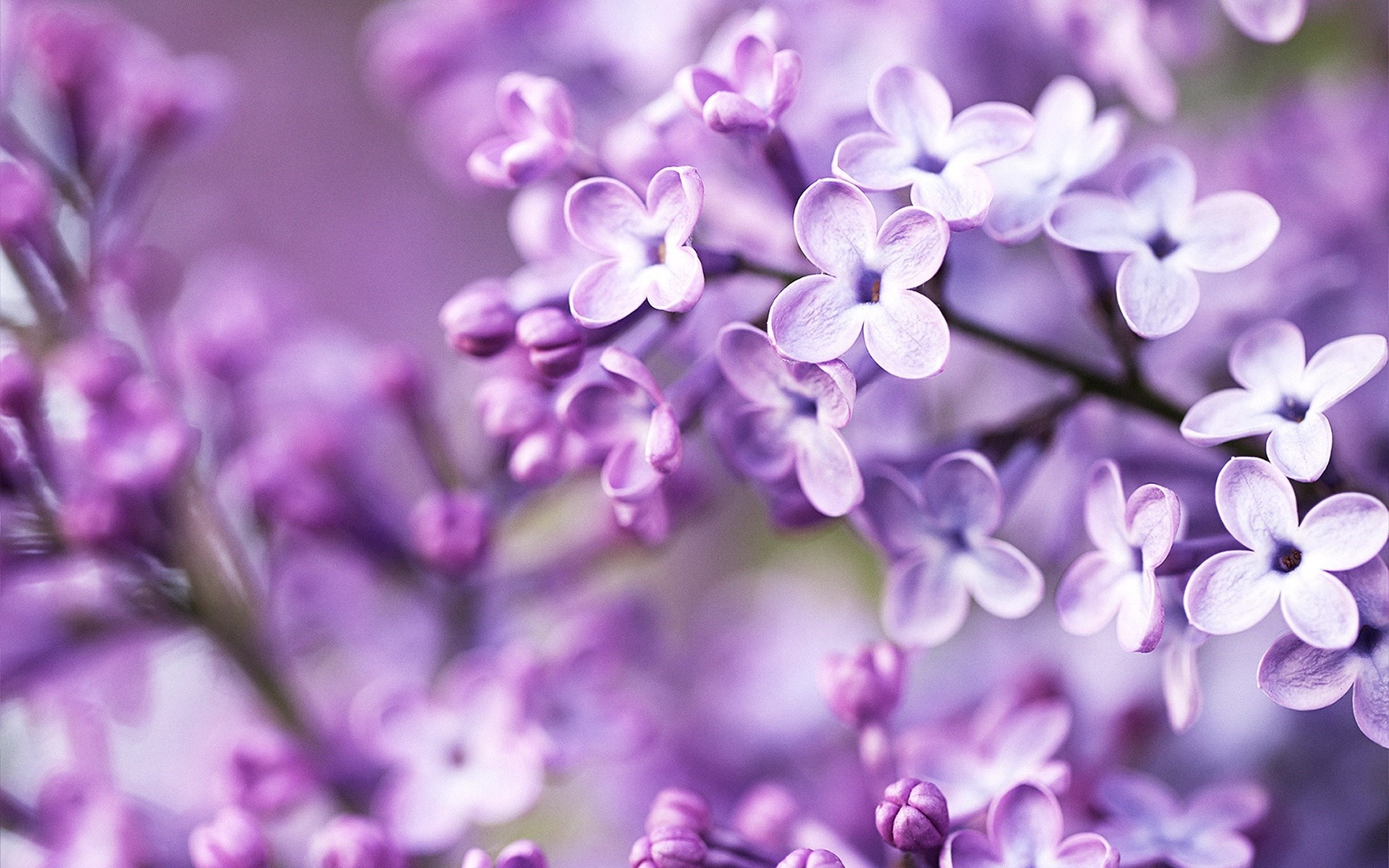 Nature Syringa Lilac Flowers HD Wallpaper